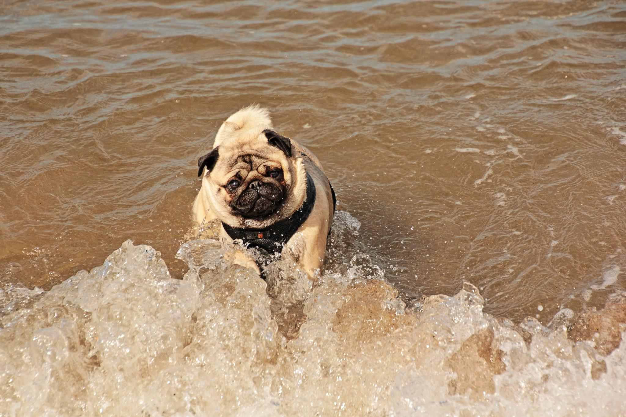 Who says Pugs can't surf by plprogers