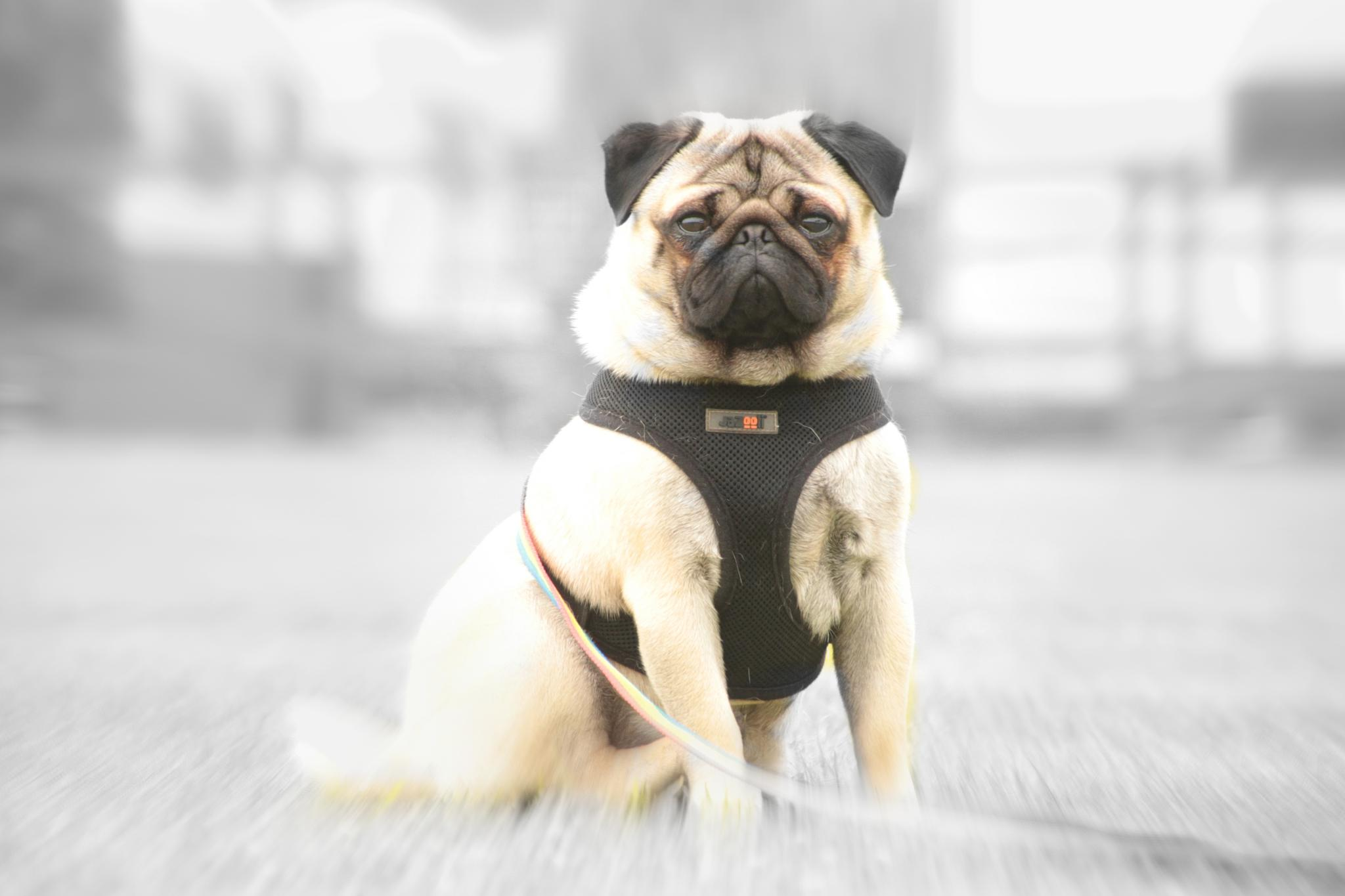 Photo in Animal #loki #pug #animal #dog #hunmanby #filey