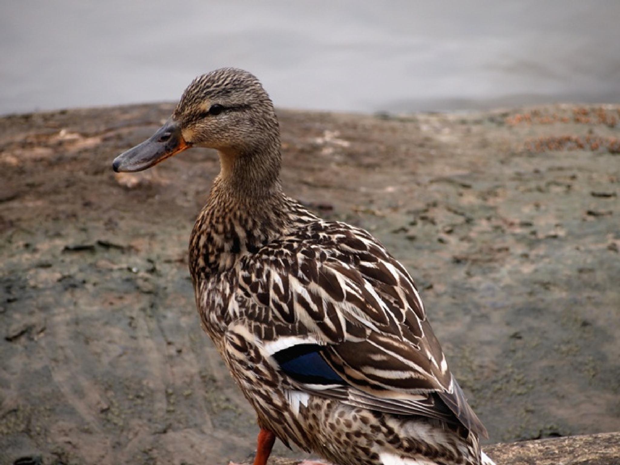 female mallard duck by karen
