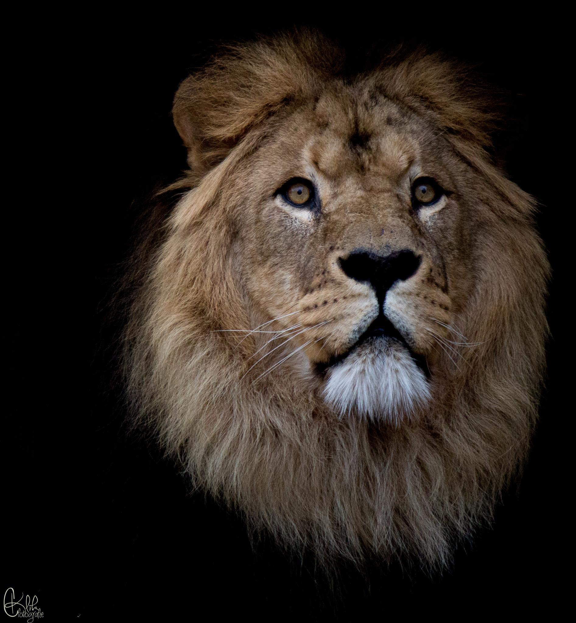 Lion King by Cklikfotografie