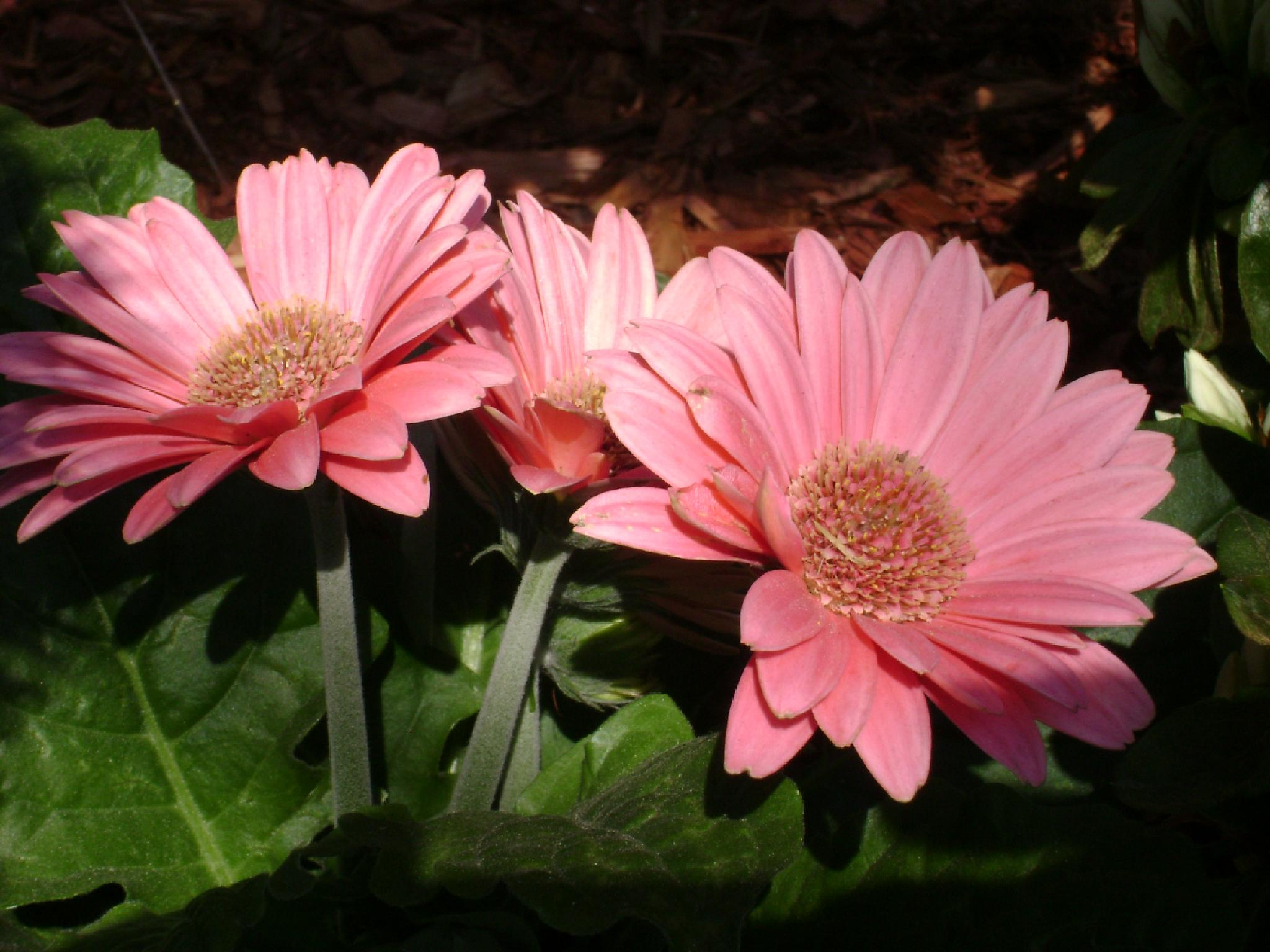 pink shasta daisies by Diana Marenfeld