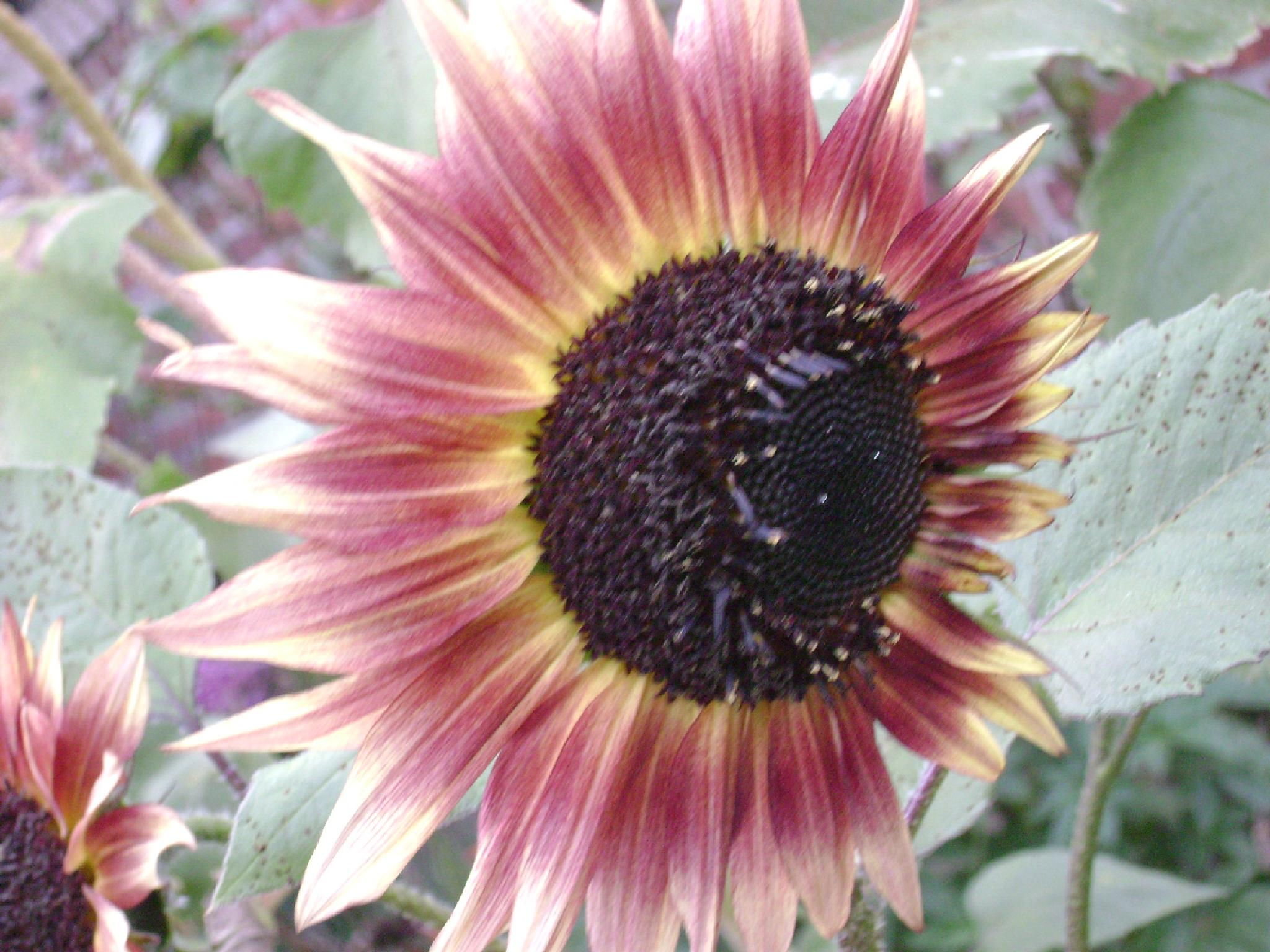 Sunflower by Diana Marenfeld