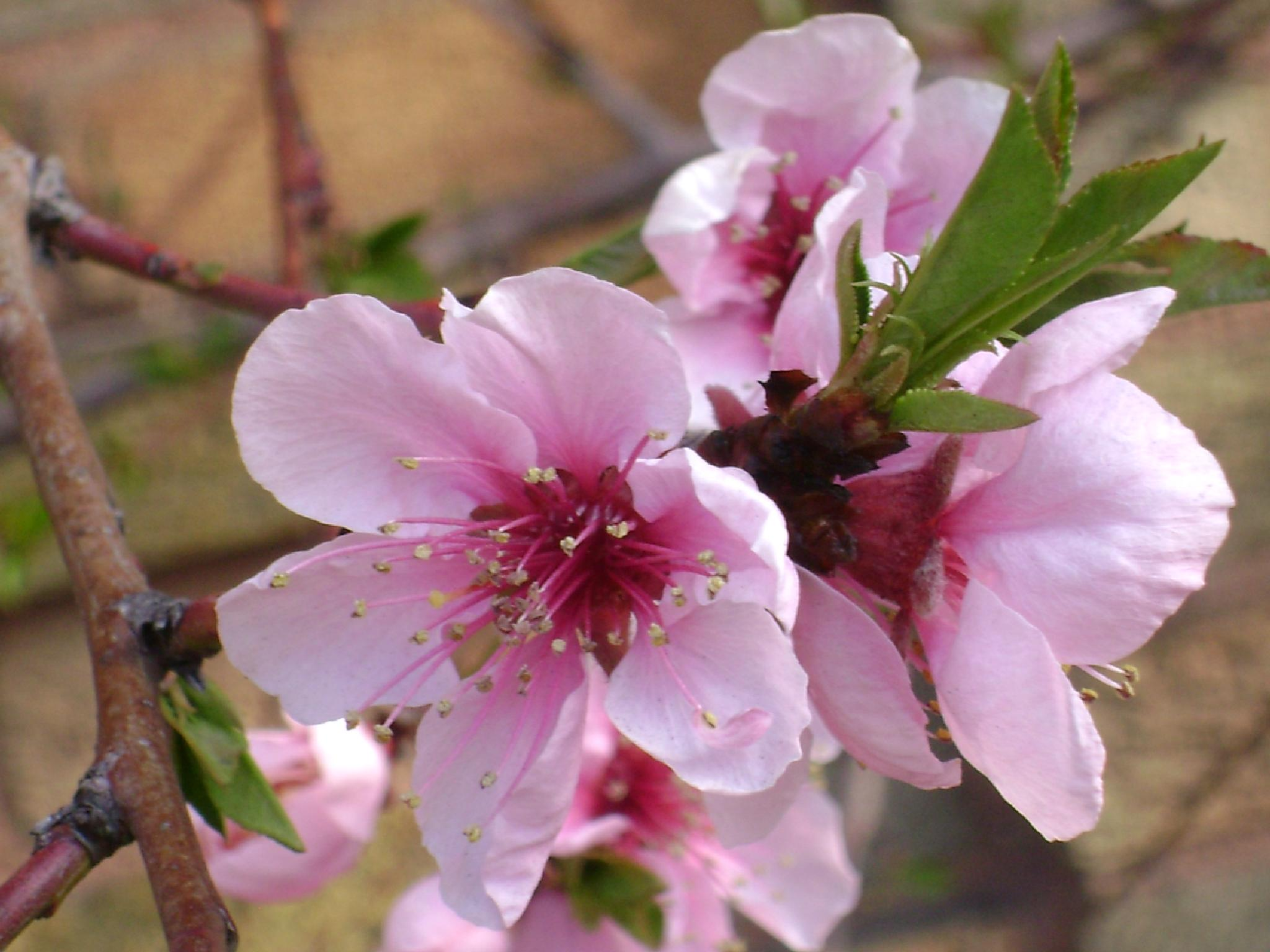 Peach tree blossoms by Diana Marenfeld