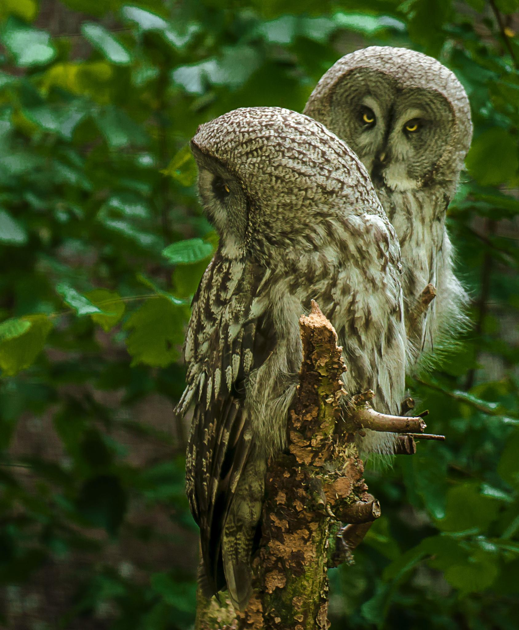 Owls by kenneth.andersen.5245