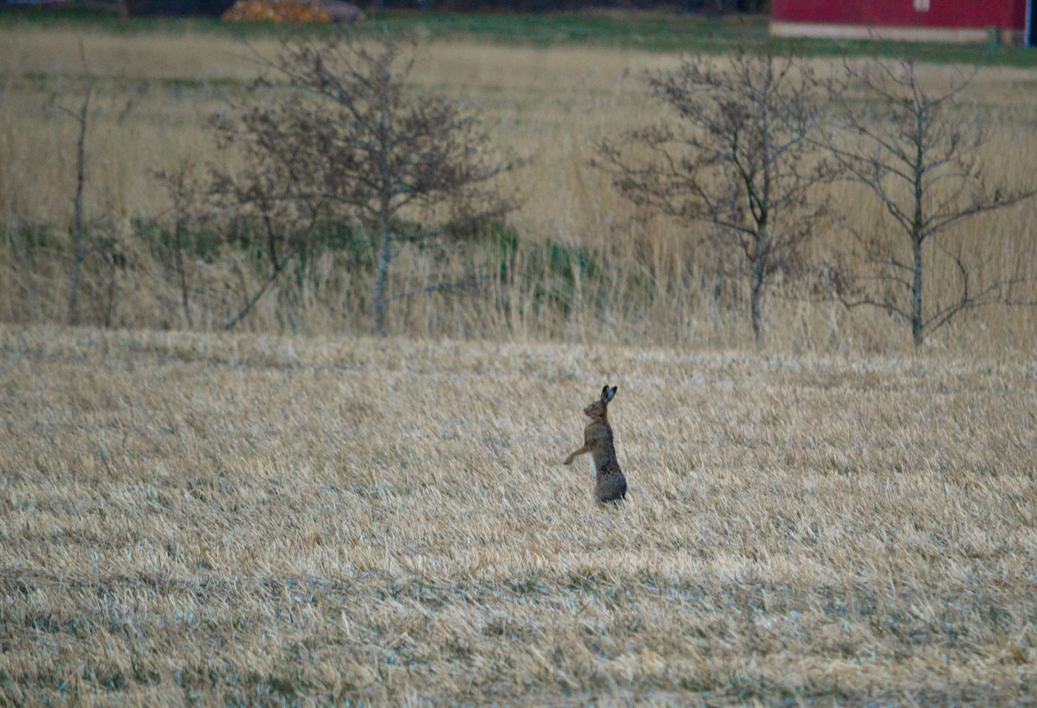 A guarding hare by Joakim Nilsson