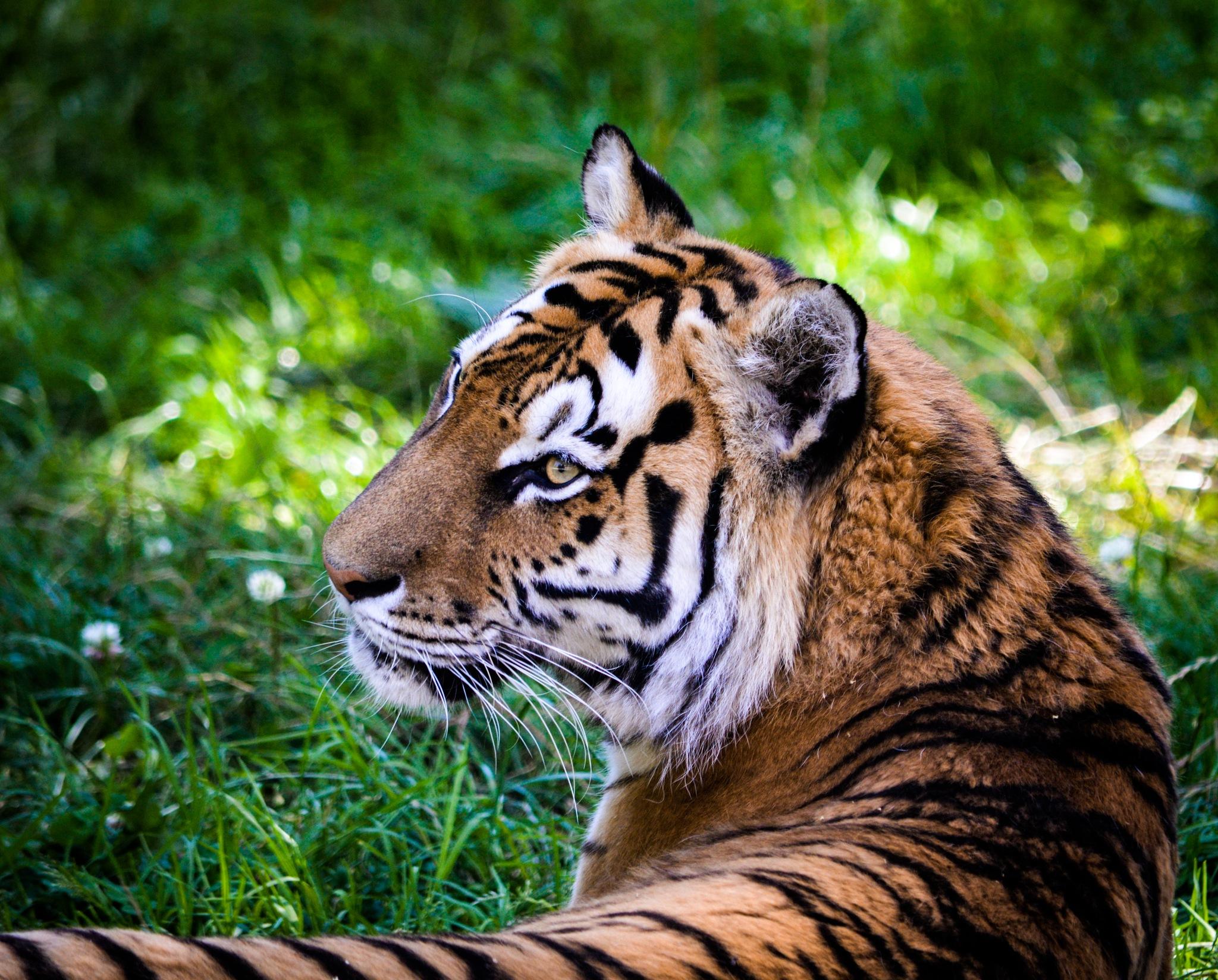 Tiger by Joakim Nilsson