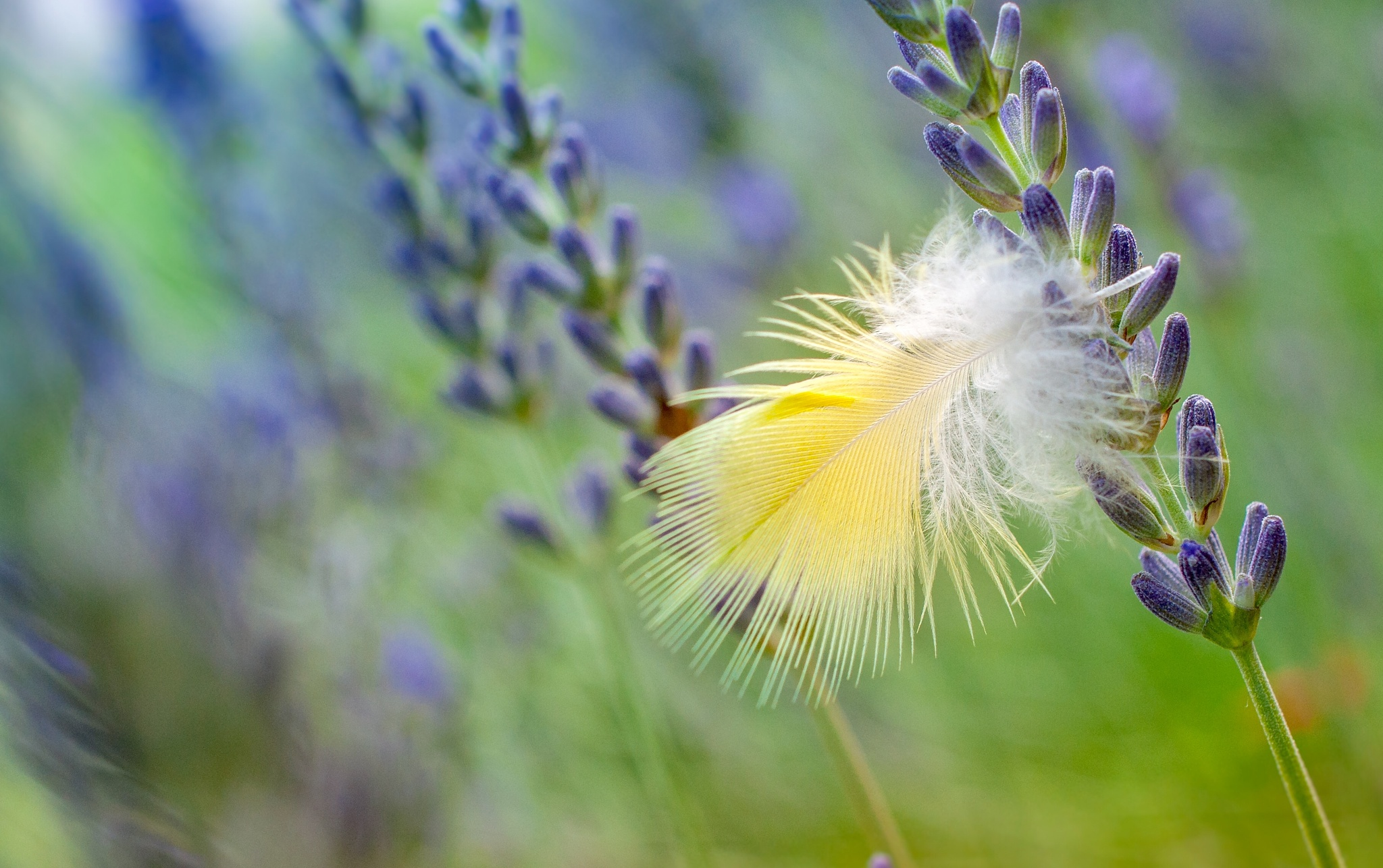Feather in lavender by Walter Stoffers