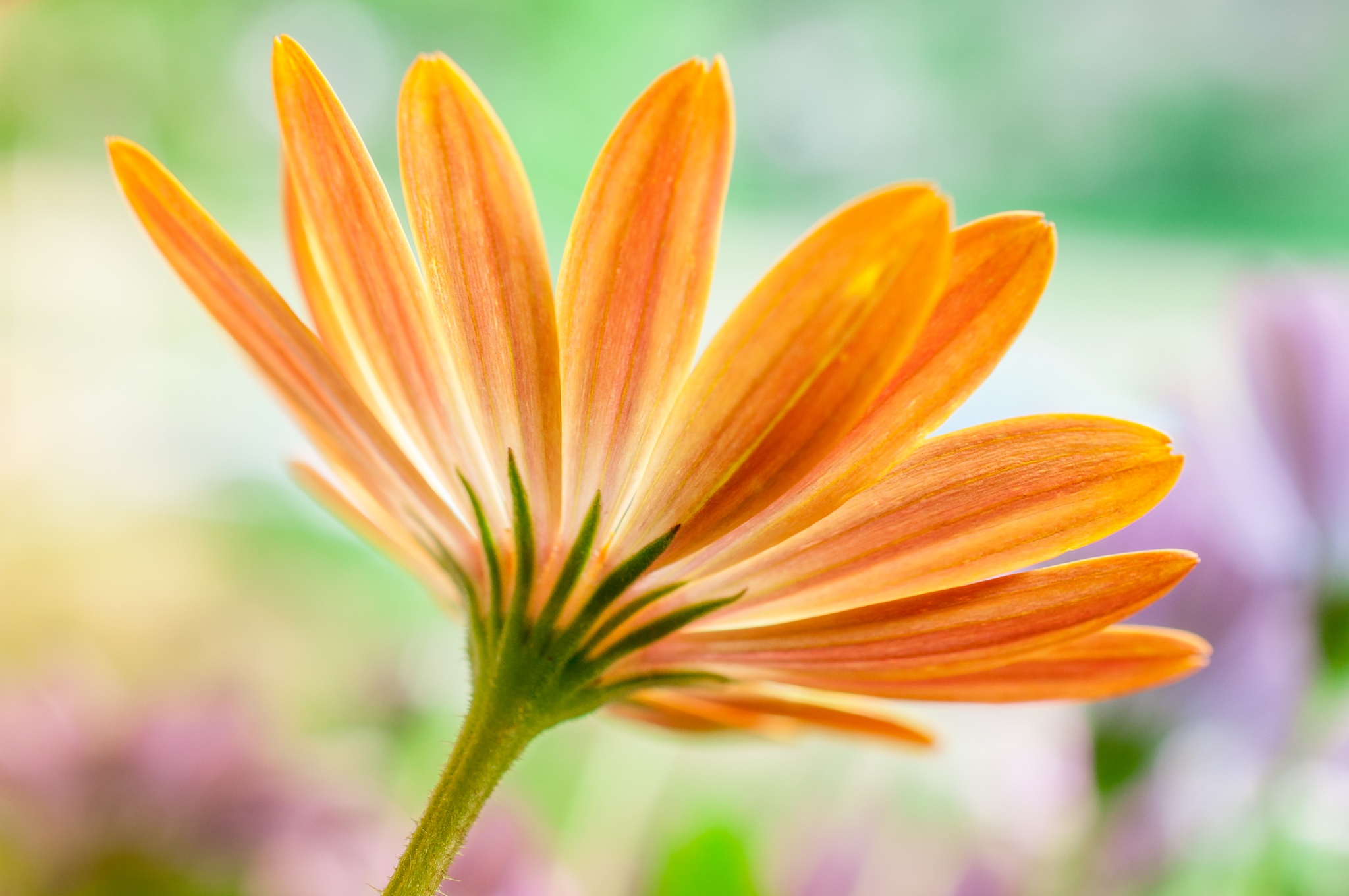 Orange my favorite Daisy by Walter Stoffers