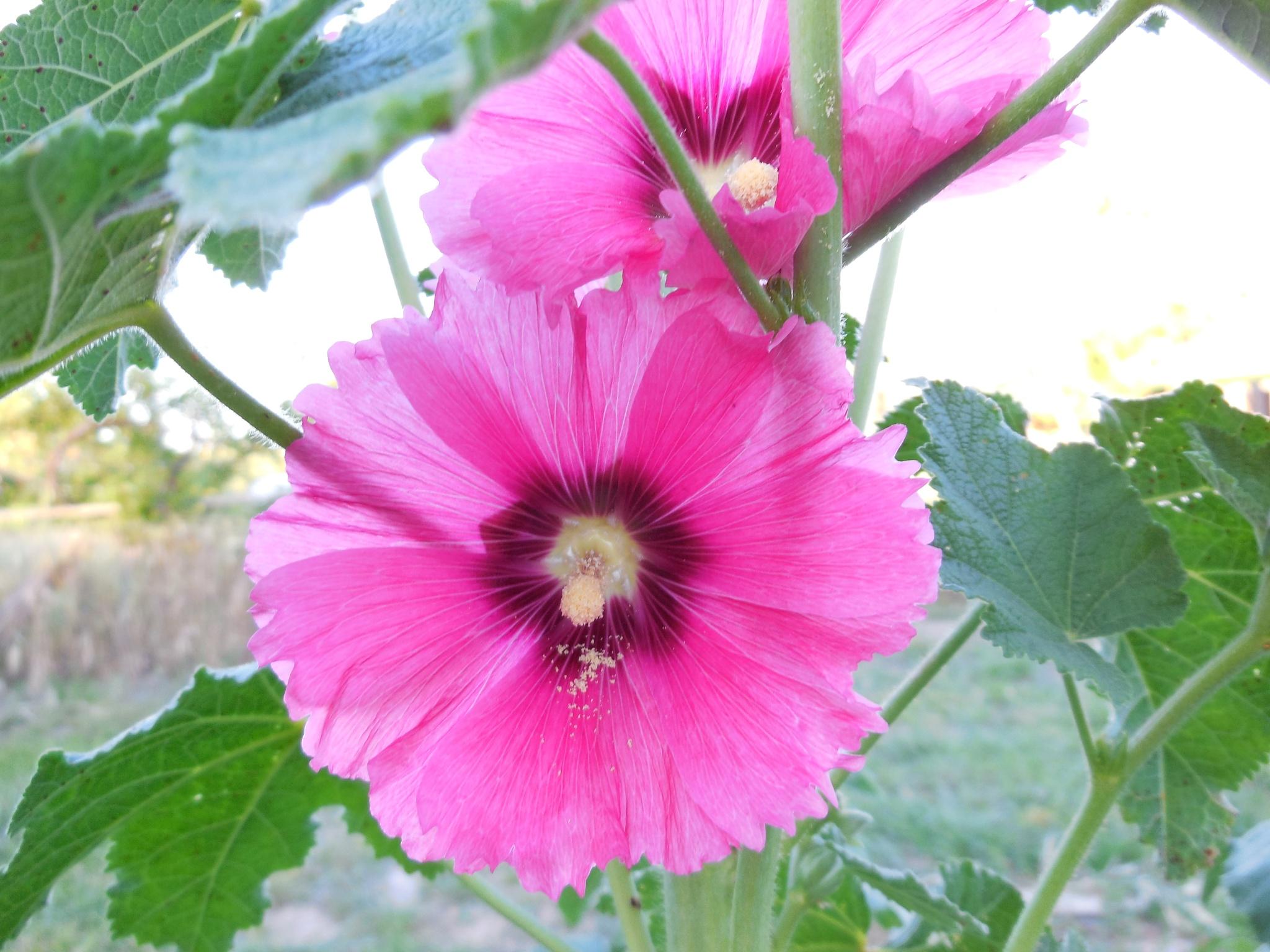 Pink Hollyhock by Debbie Galvez