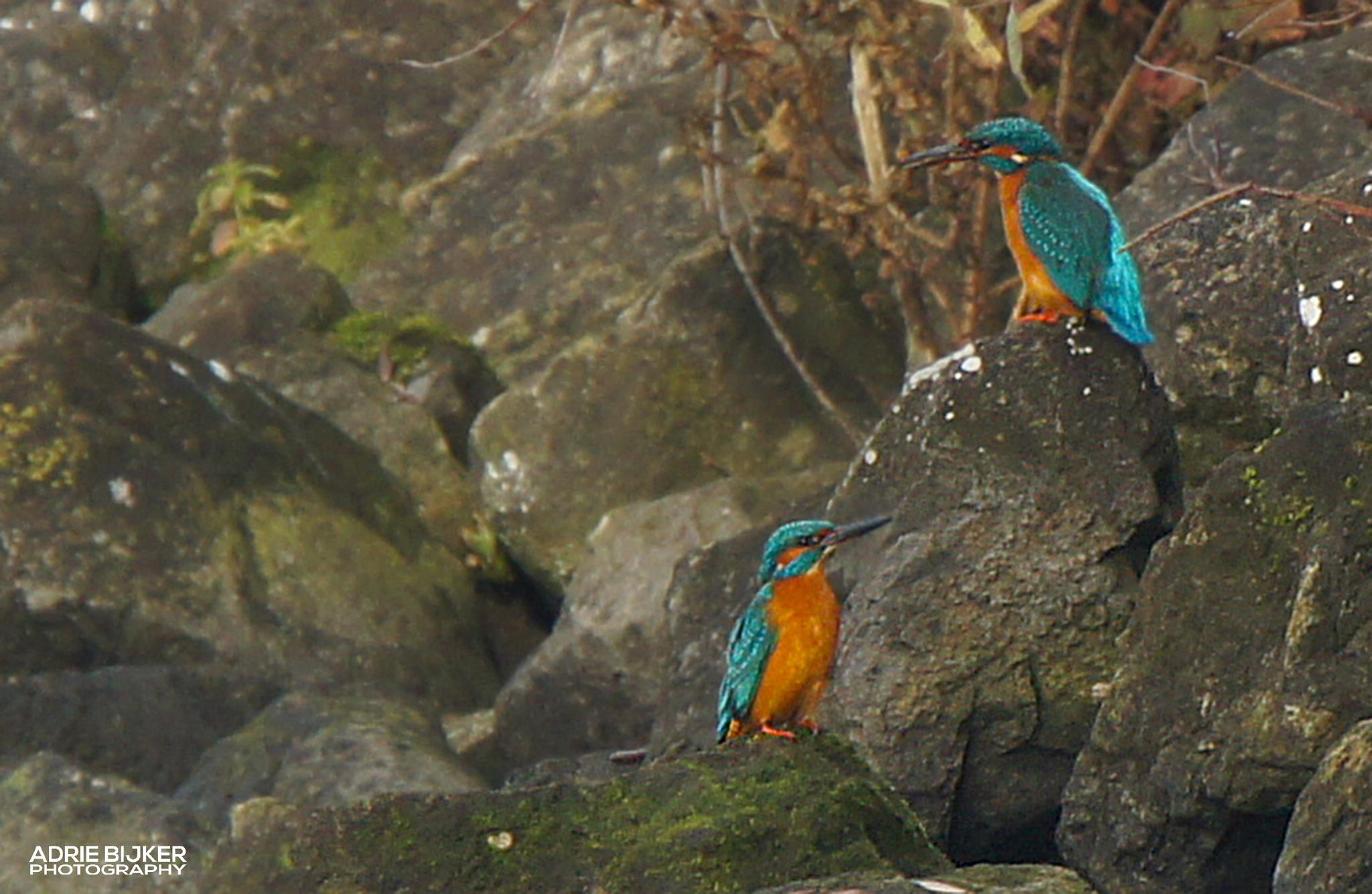Kingfishers - IJsvogeltjes by Adrie Bijker