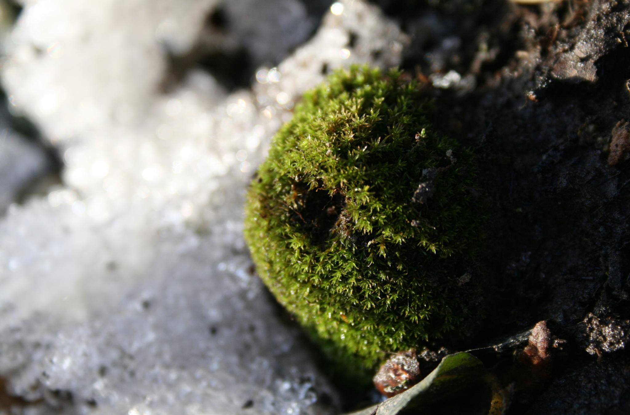 Tiny Ball of Moss - First Signs of Spring by ʎpɐן uɐıpɐuɐɔ