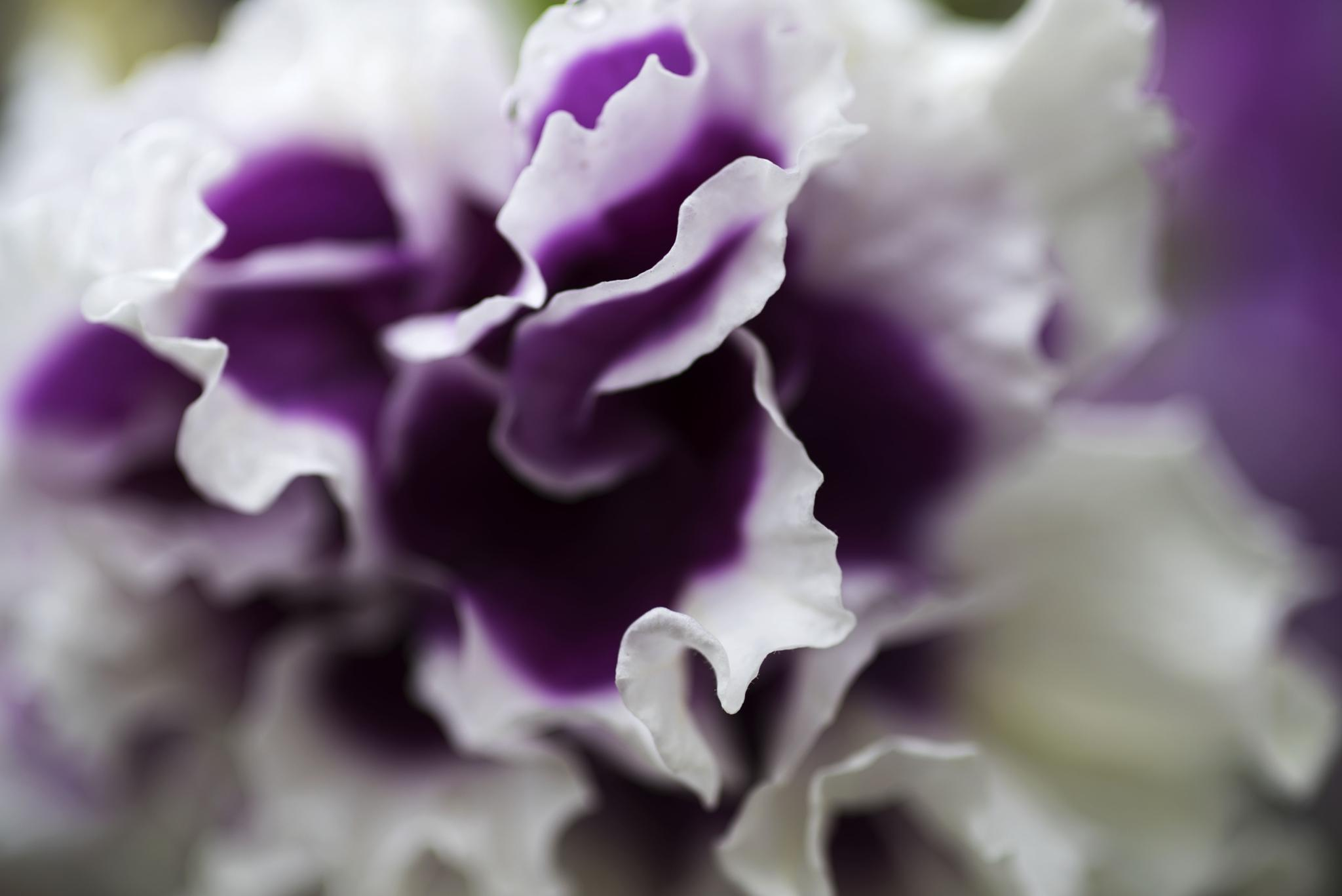 Pretty Petunia by trevor keville
