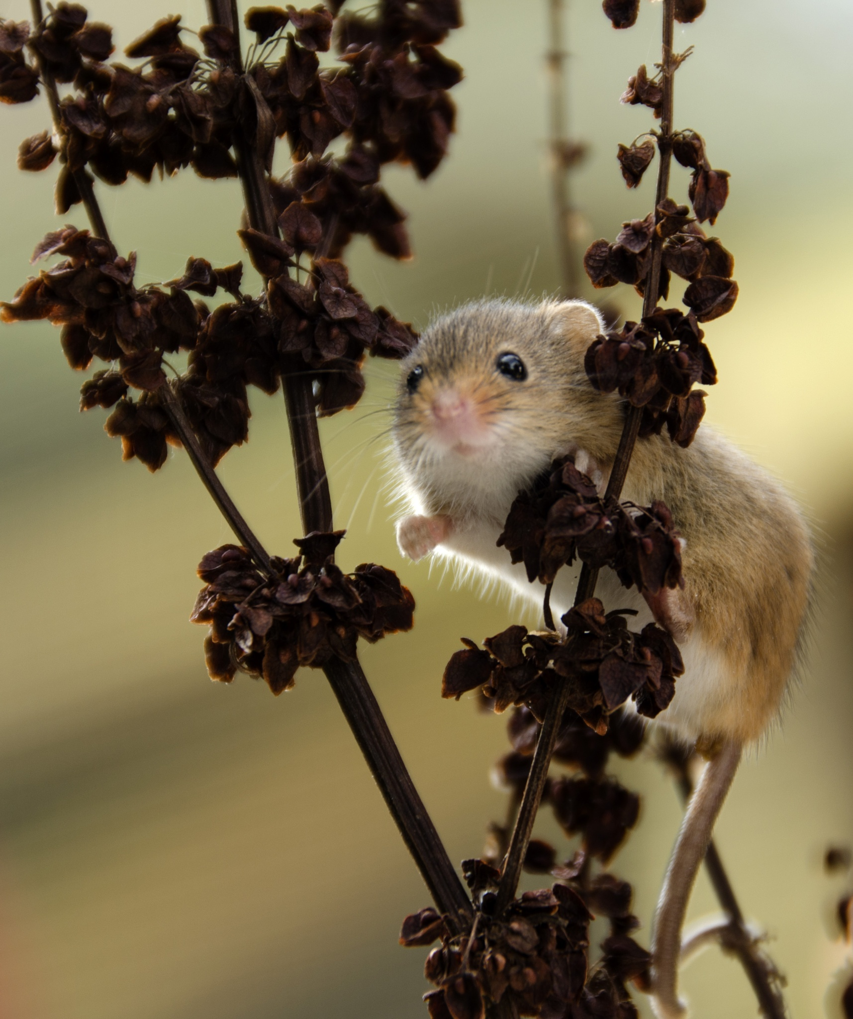 Harvest mouse by trevor keville