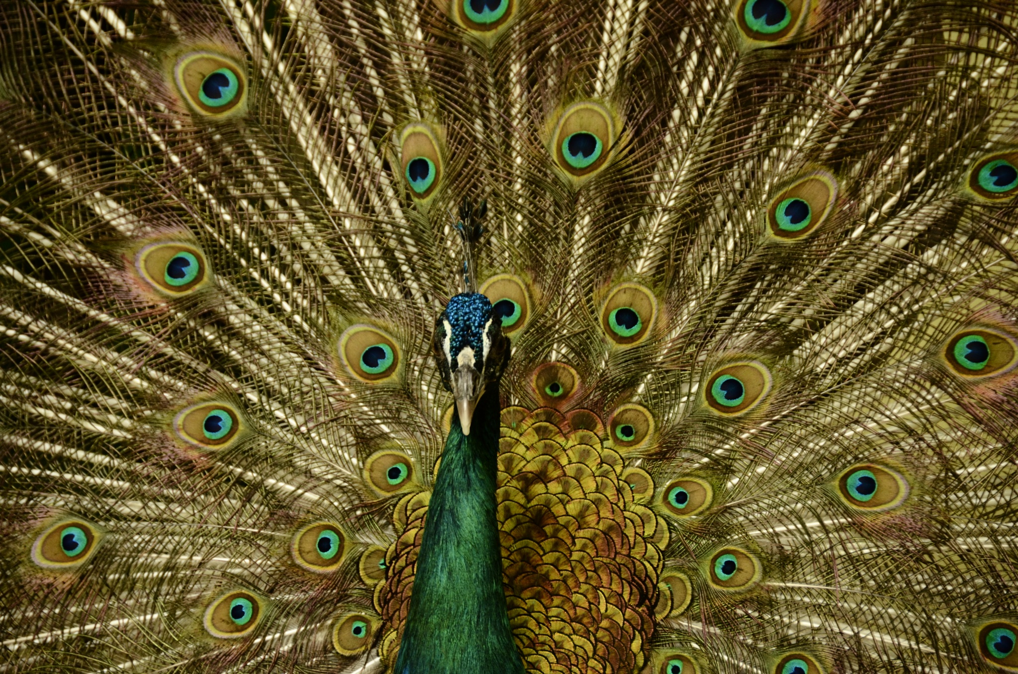 Peacock by trevor keville
