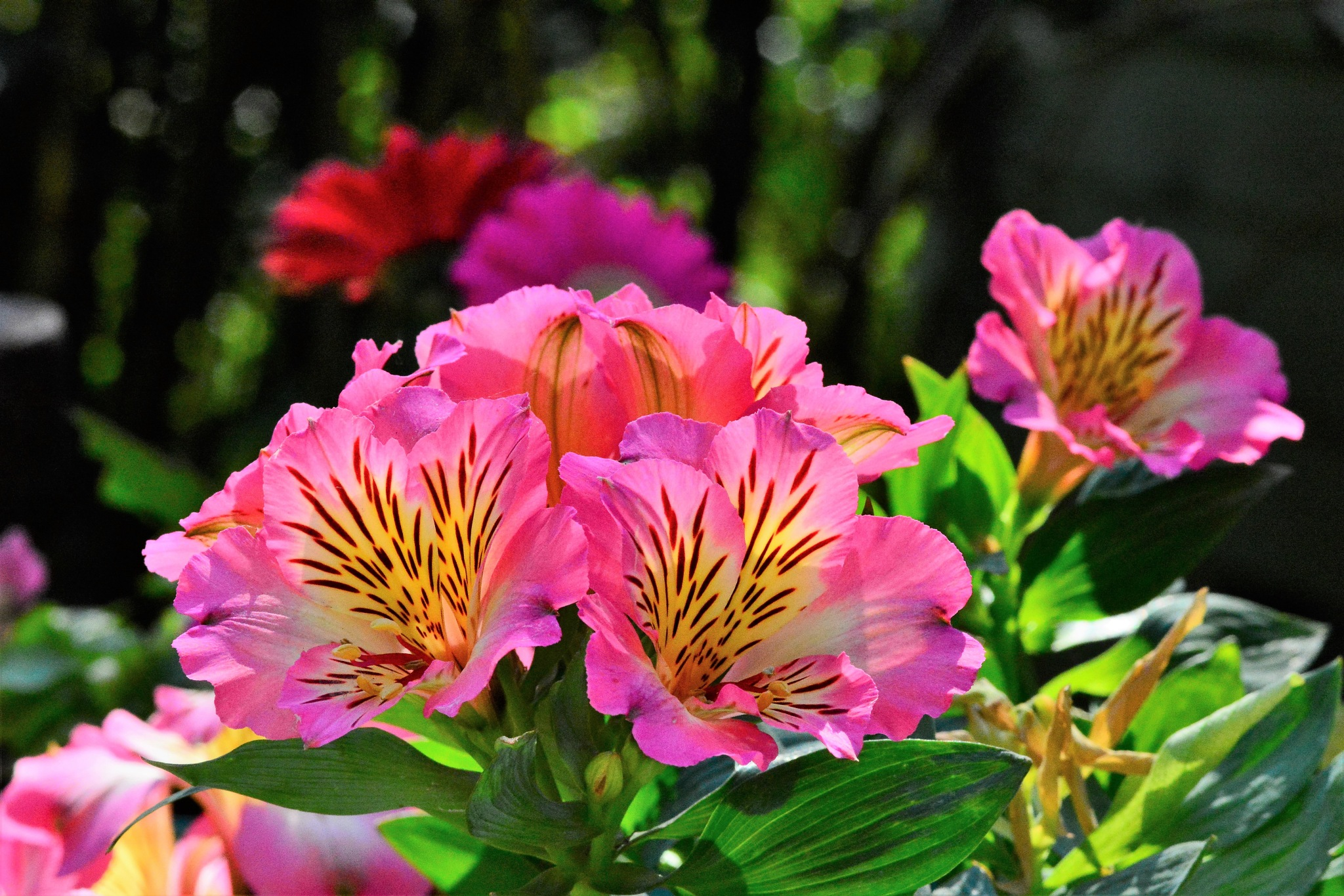 peruvian lily by Hugh.Inyet