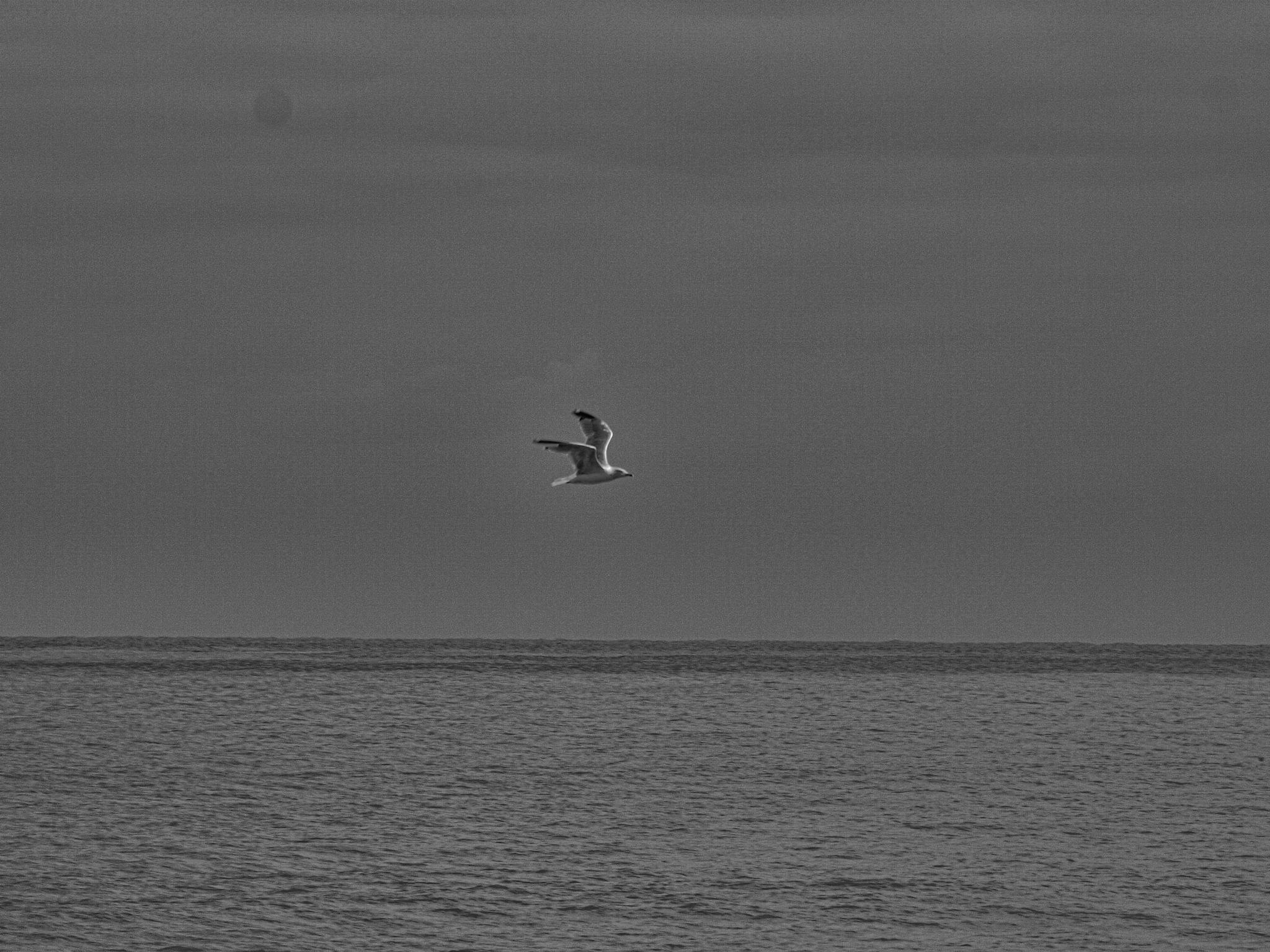 The Gull by Simon Hill