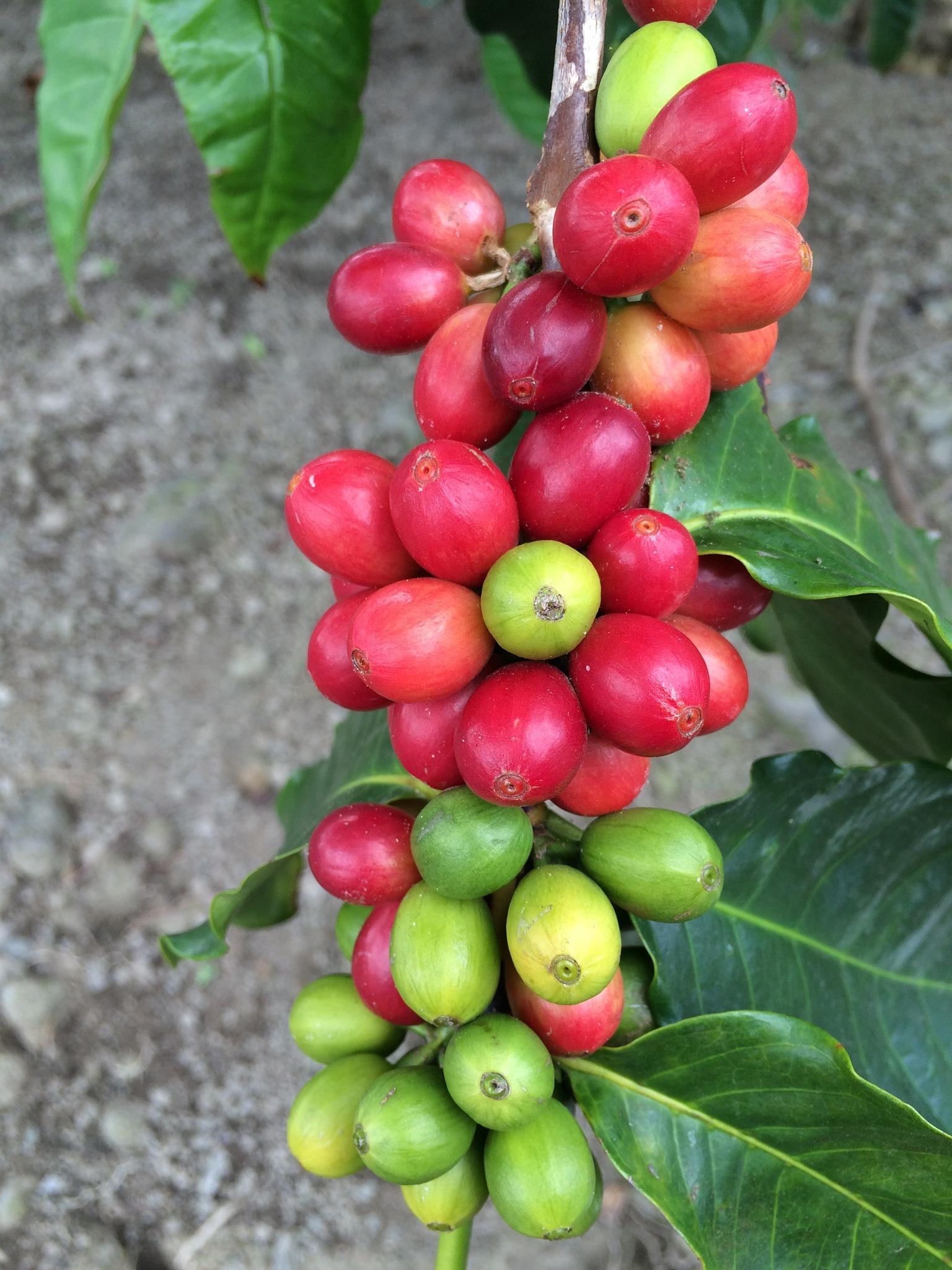 Kona Coffee by gstyer