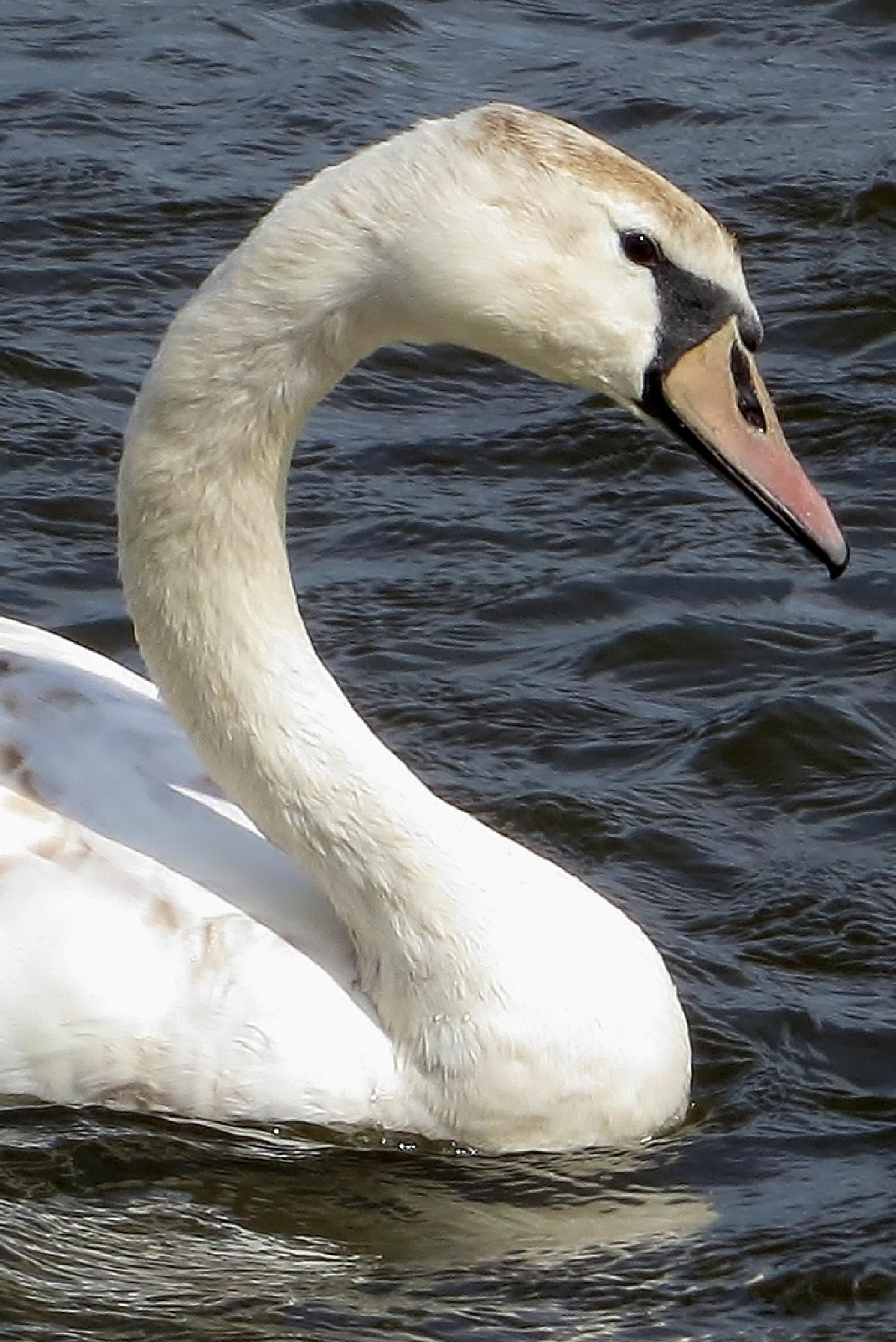 Swan 2 by chris.wright
