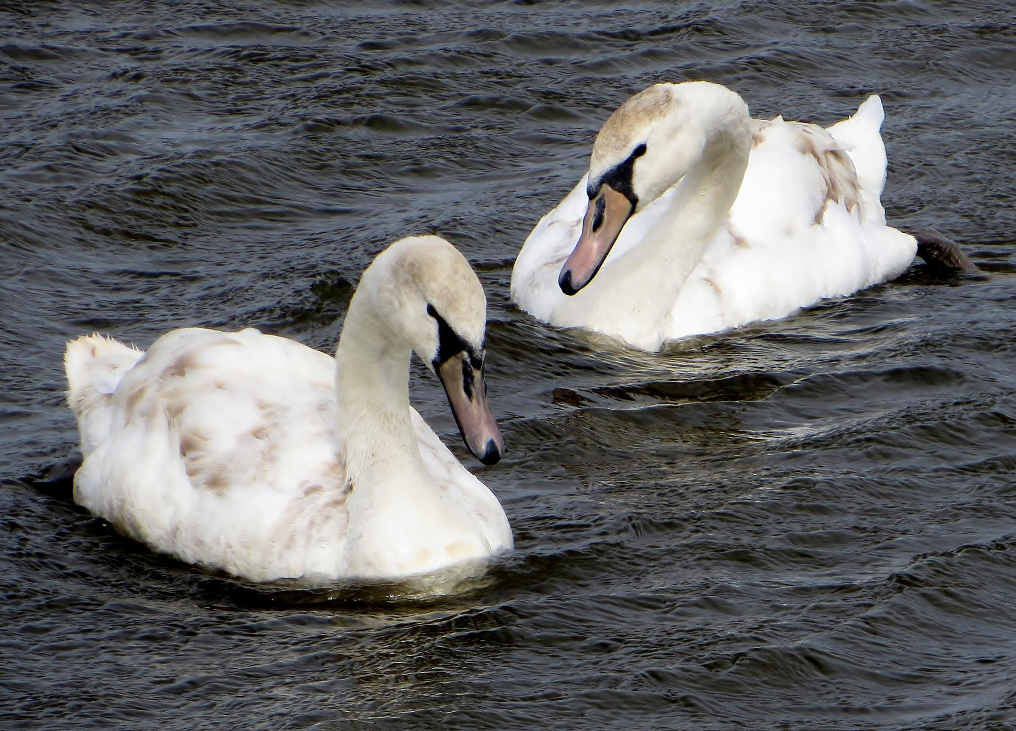 Two Swans a Swimming by chris.wright