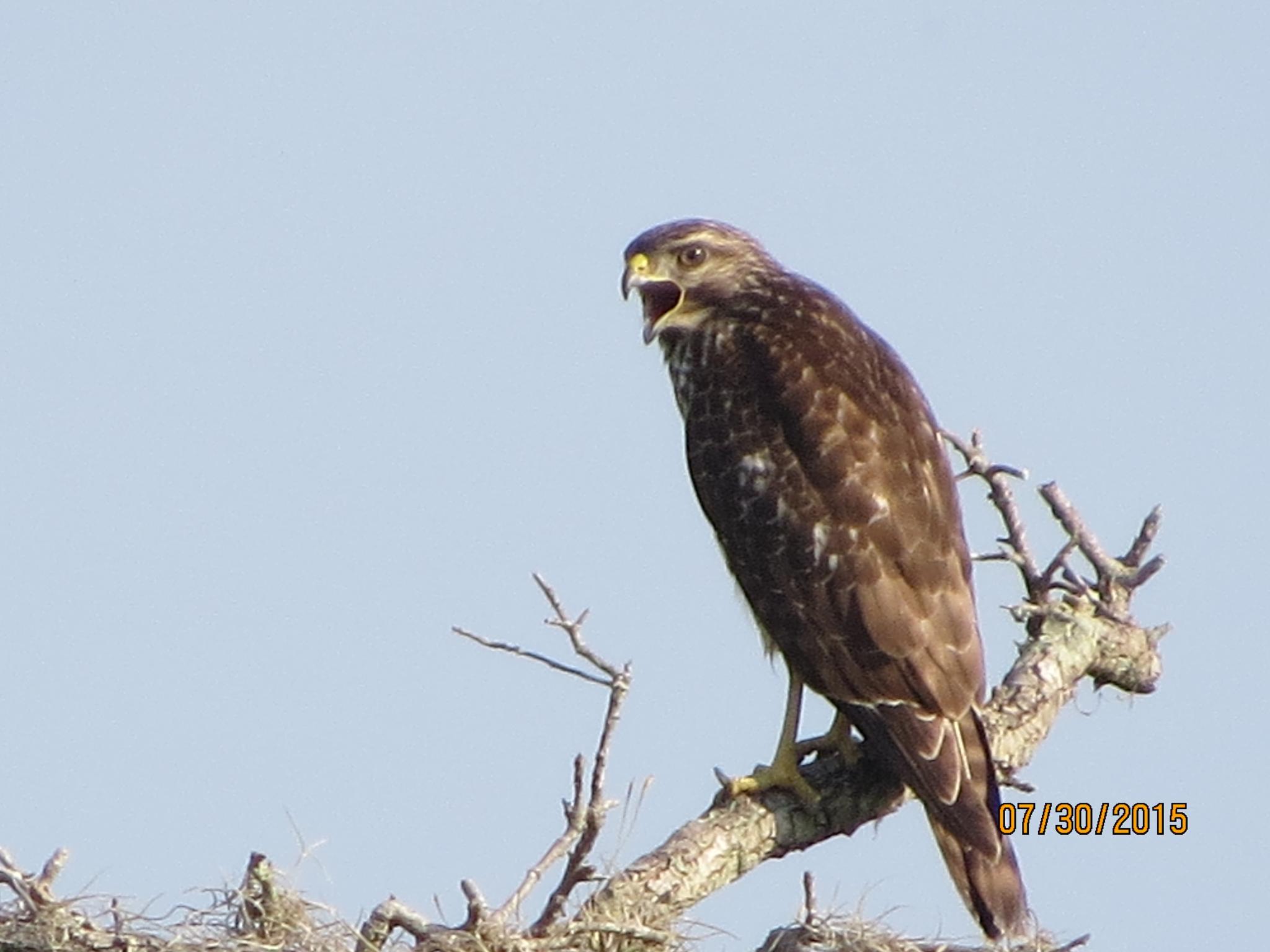 Eagle by eve.alaxanian