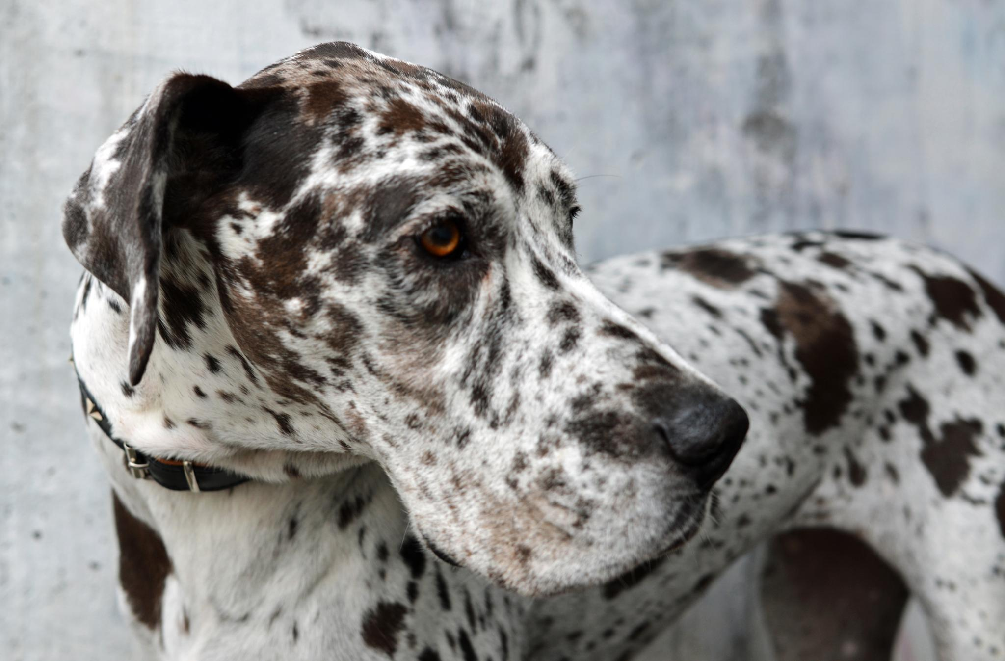 Photo in Animal #grand danois #great dane #dog #harlequin