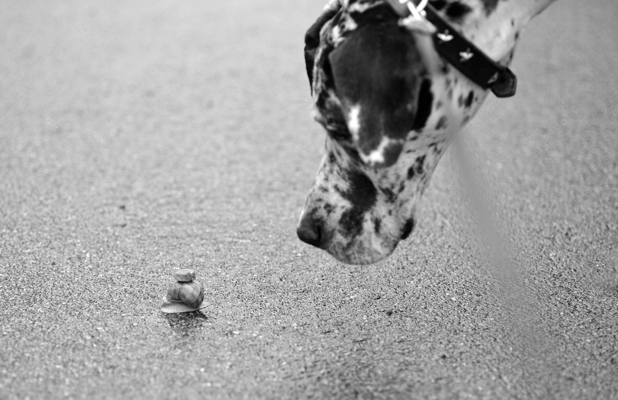 Photo in Animal #great dane #harlequin #dog #grand danois
