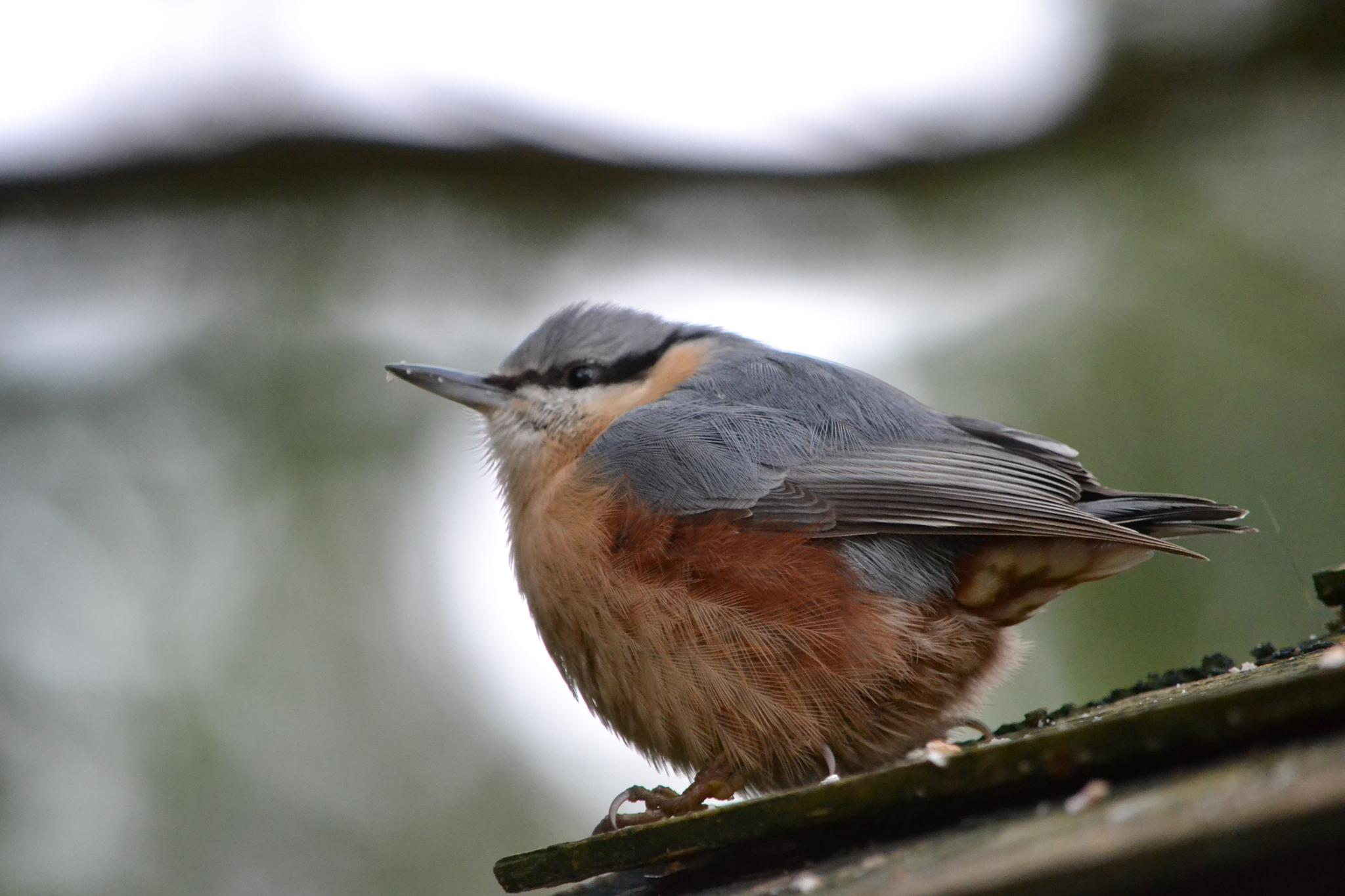 Nuthatch by SharonD