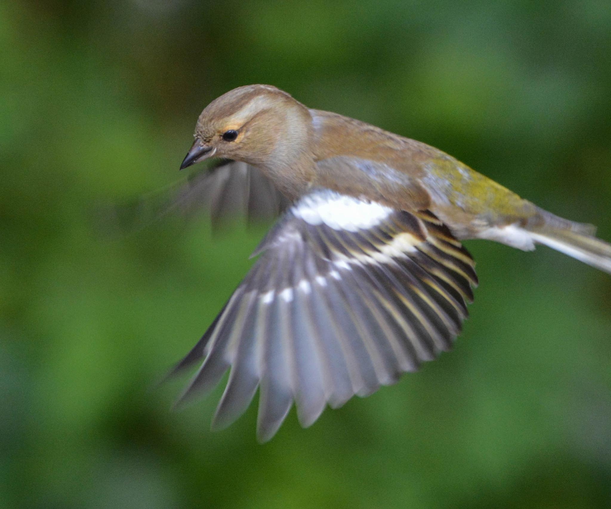 Chaffinch by SharonD