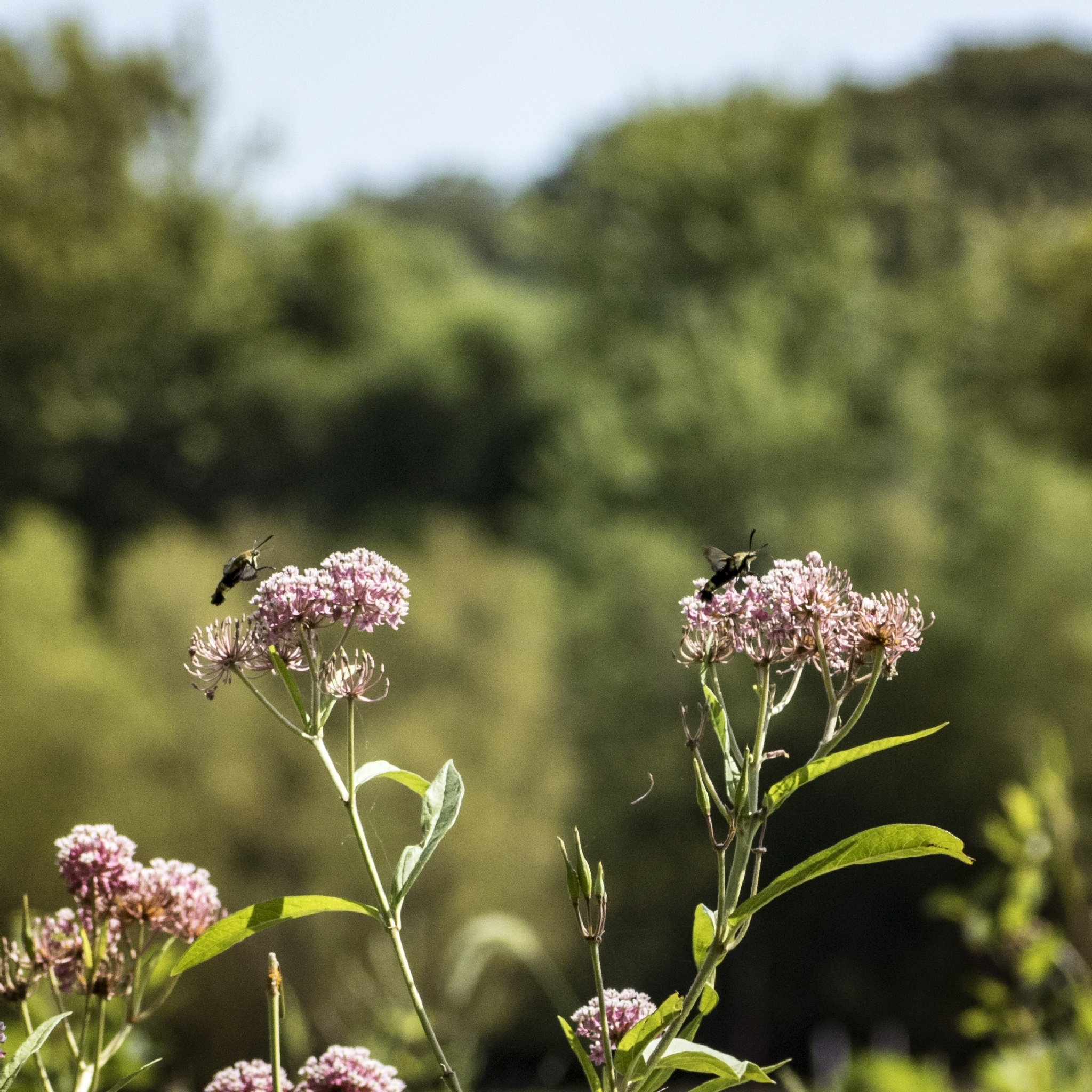 Hummingbird moths on swamp milkweed by Martha Glotzhober