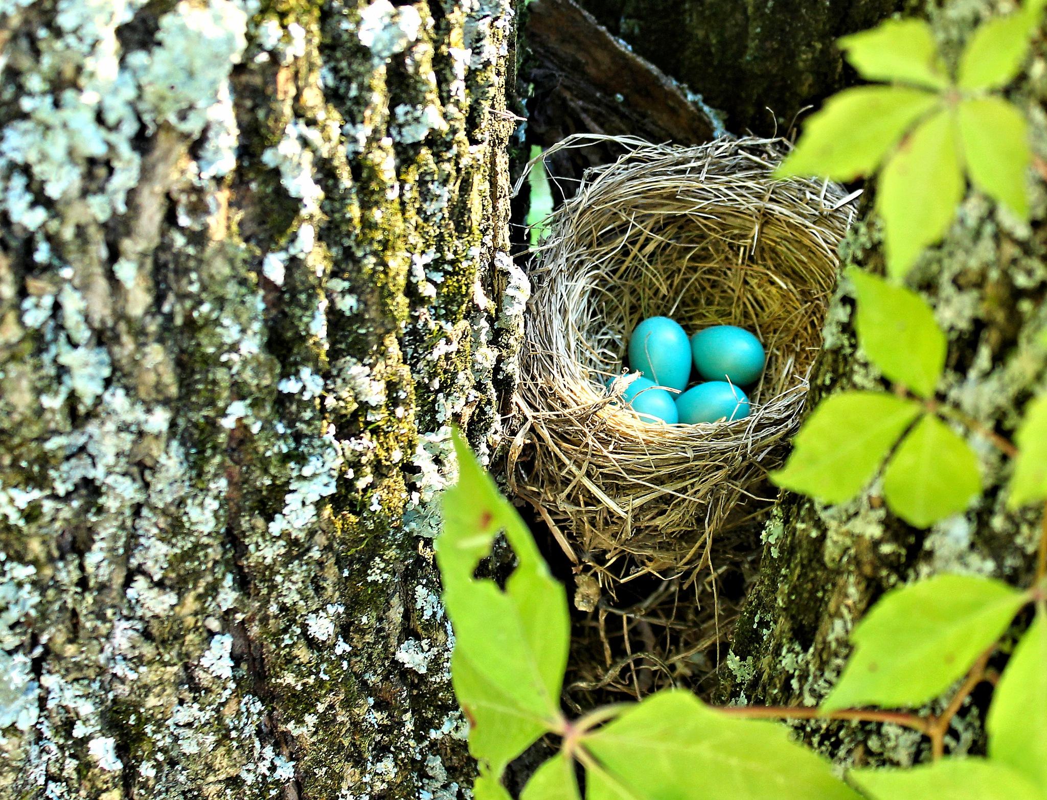 Robins Nest by sherry.laydaugherty