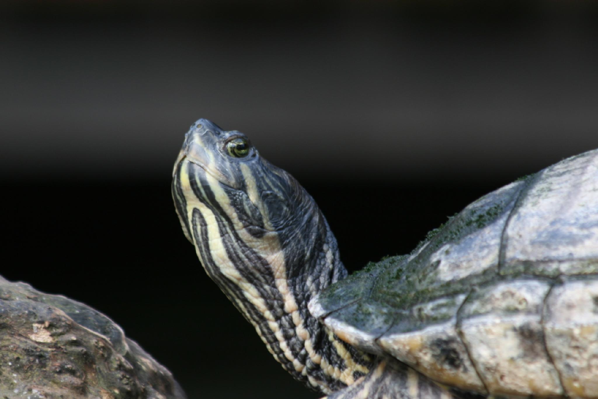 turtle by Corrie van Ginkel