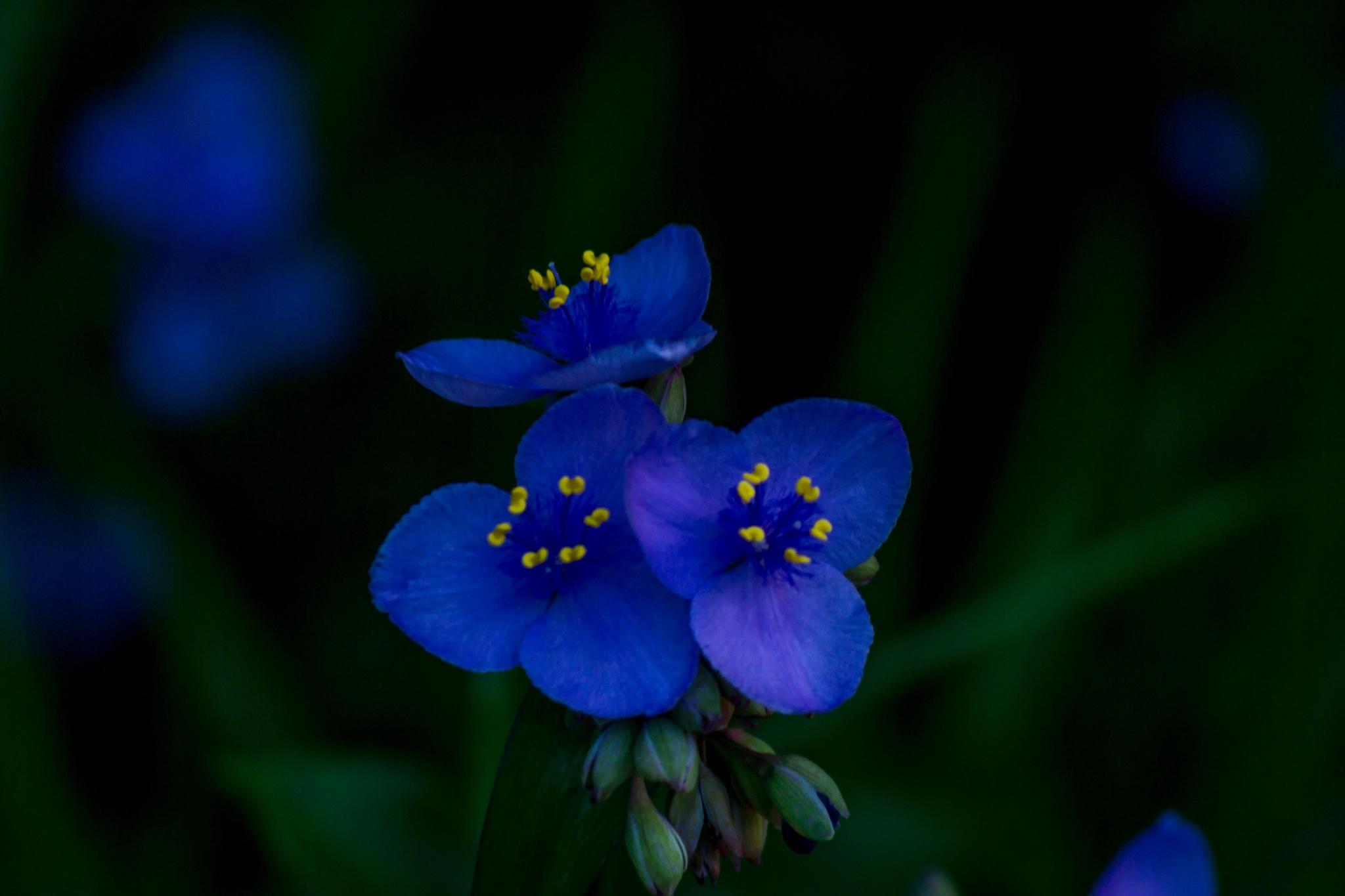 Photo in Macro #flower #florida #blue