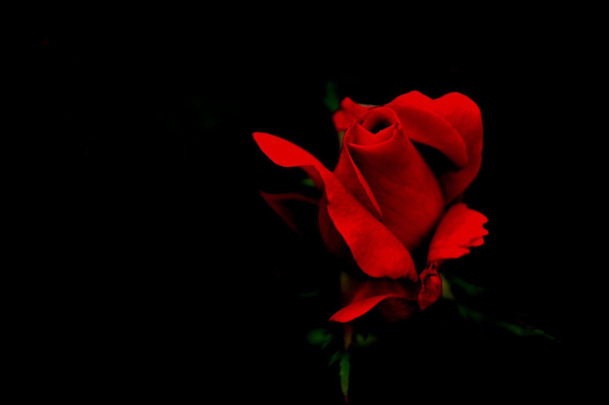 Photo in Macro #rose