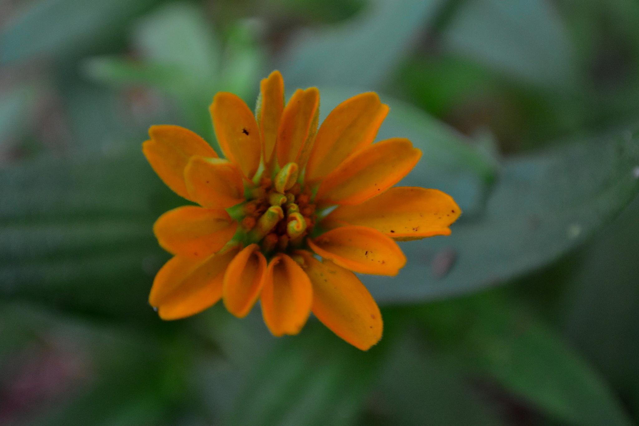 Orange Flower by docsmity