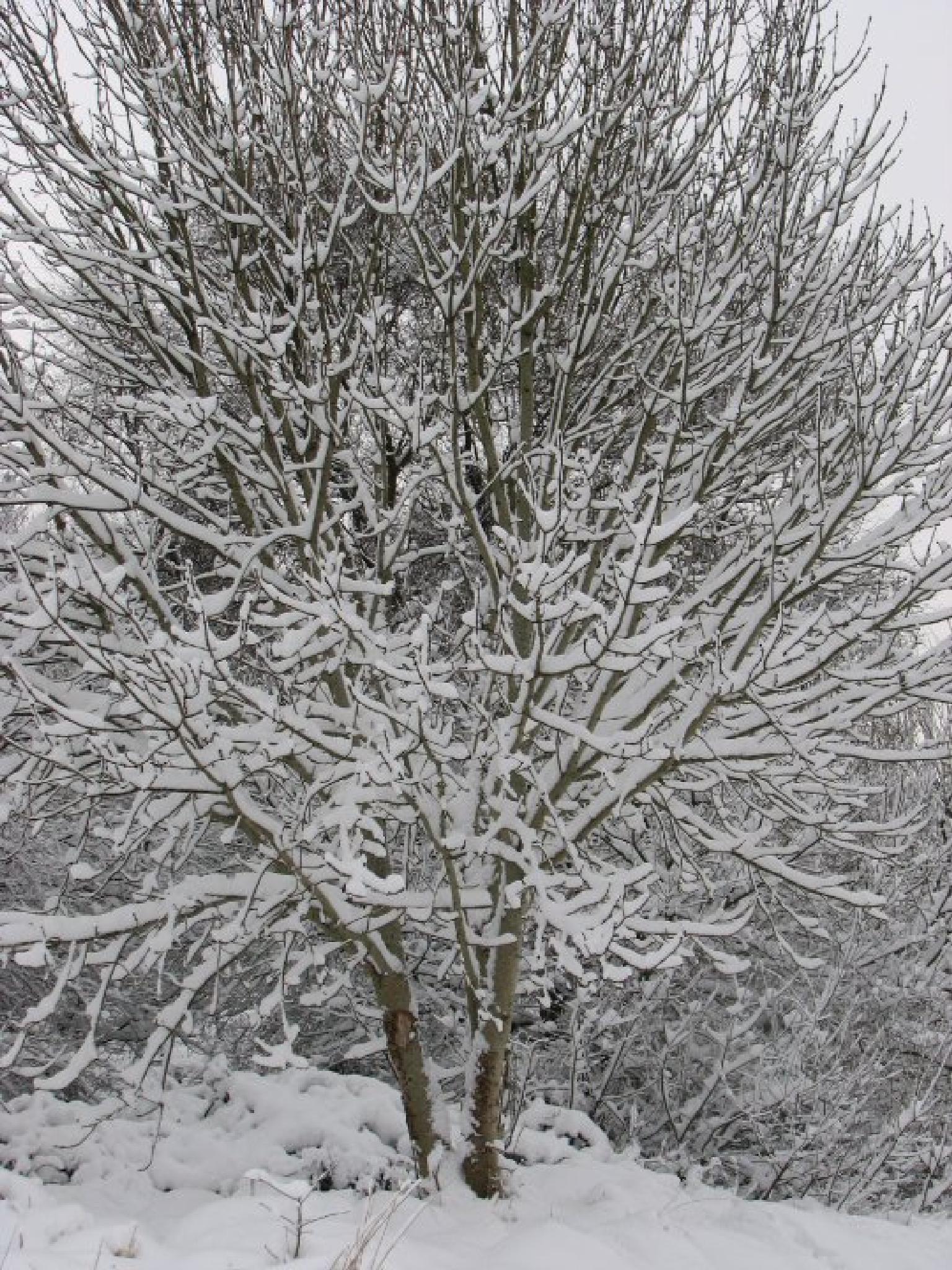another snowy tree, by nigel.seldon.1