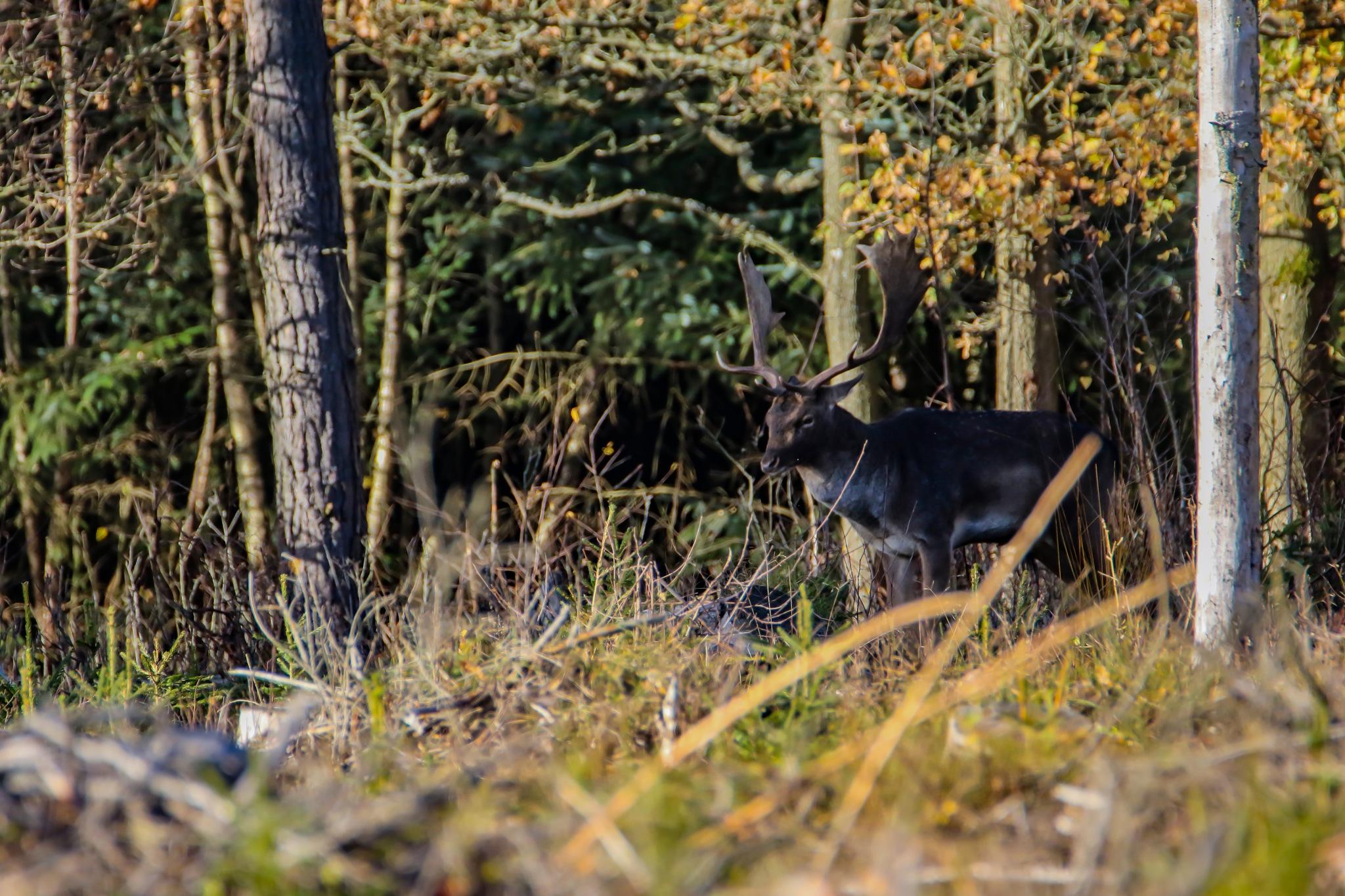Fallow Deer by Daniel Paulsson