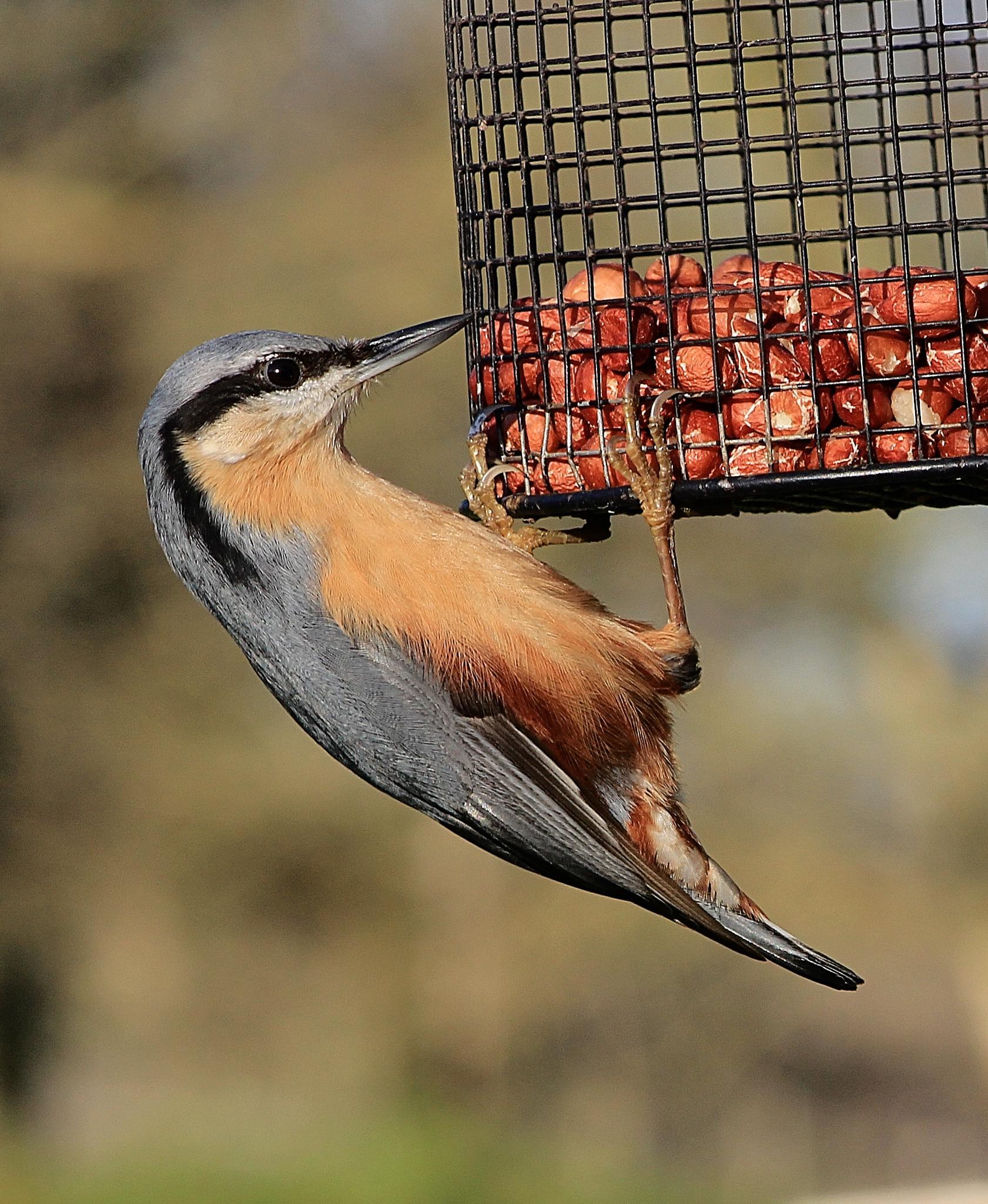 Nuthatch on feeder by Andrew Wildman
