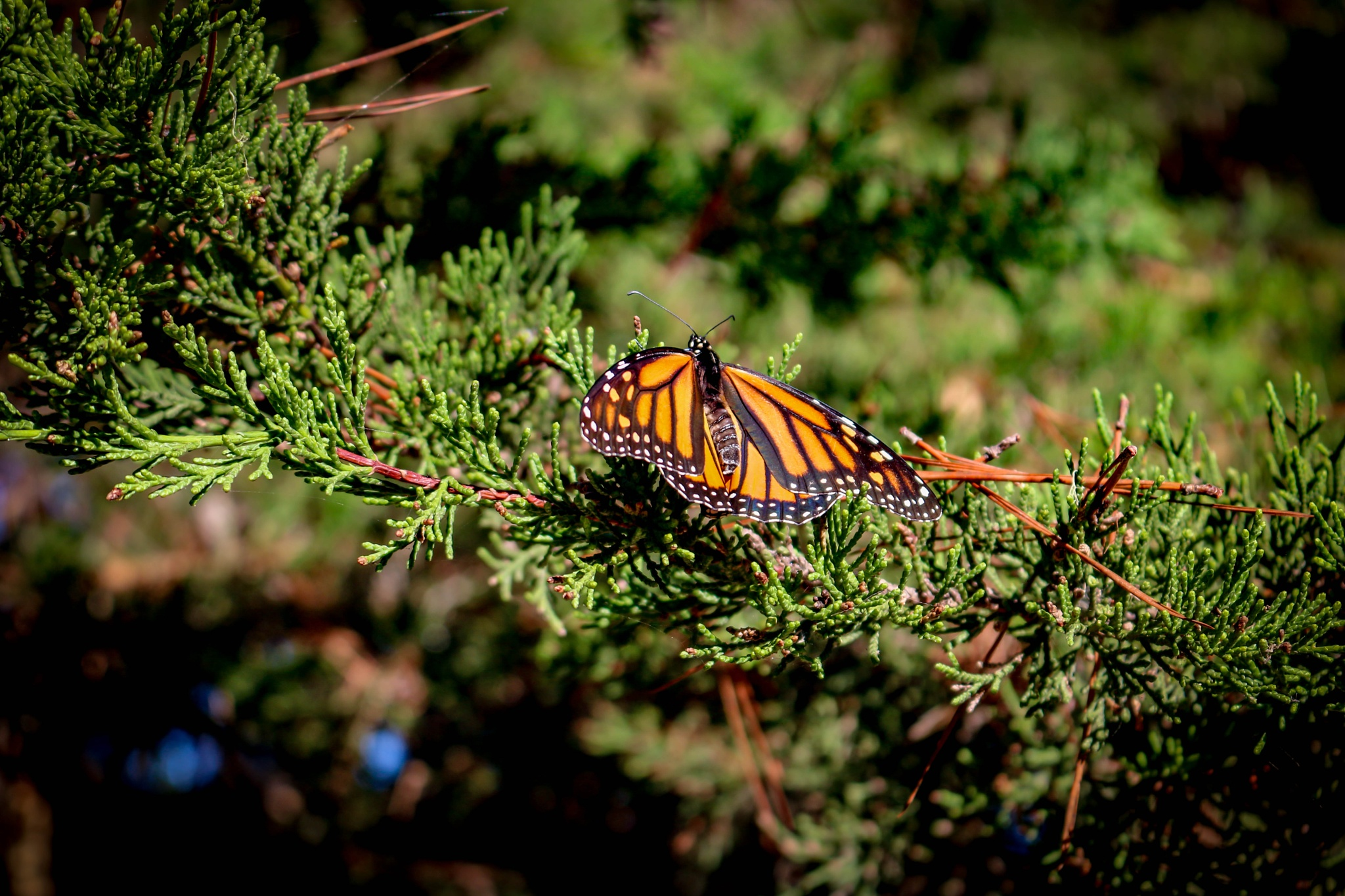 Monarch Butterfly by Catherine