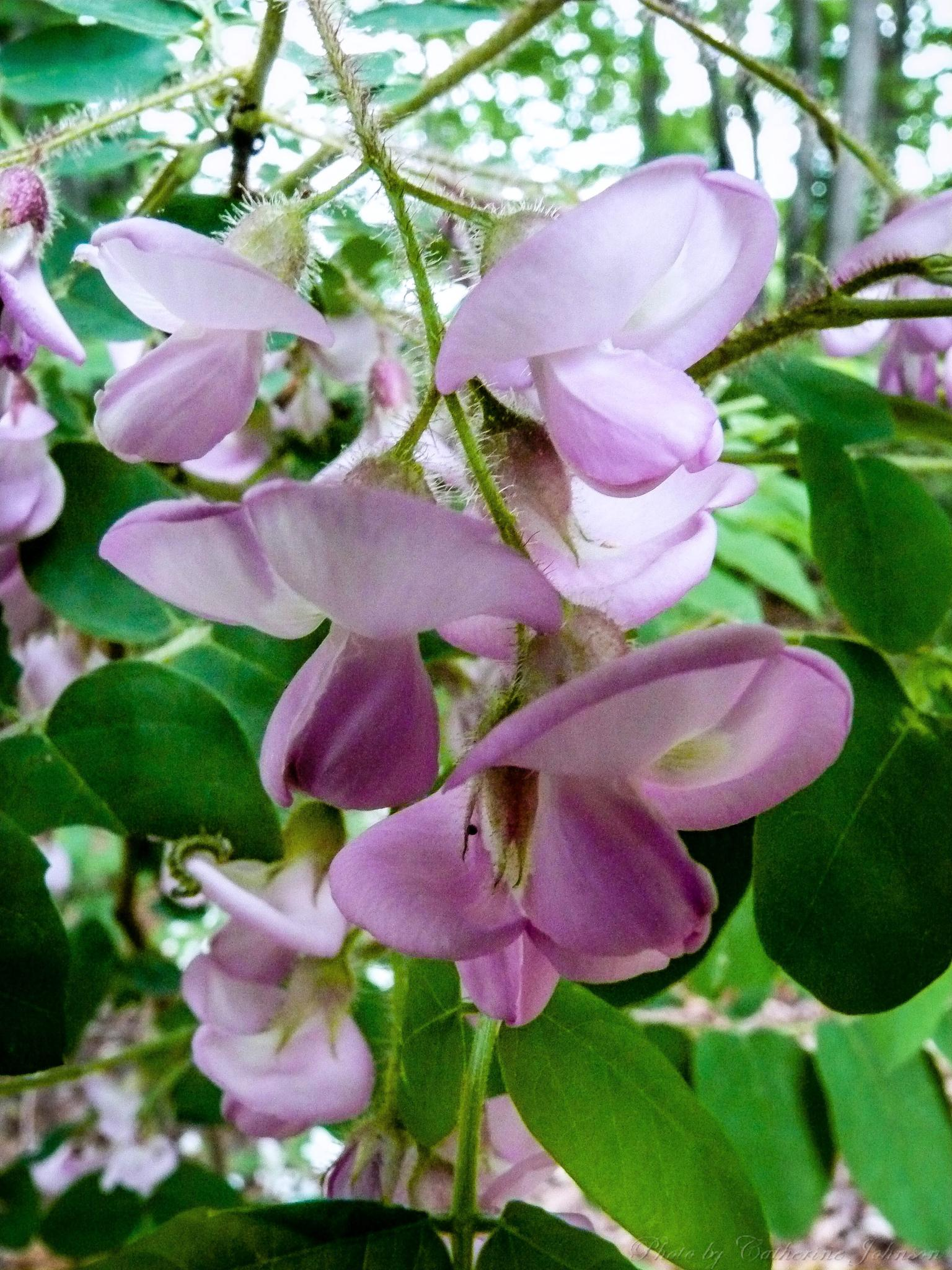 Purple Wisteria by Catherine