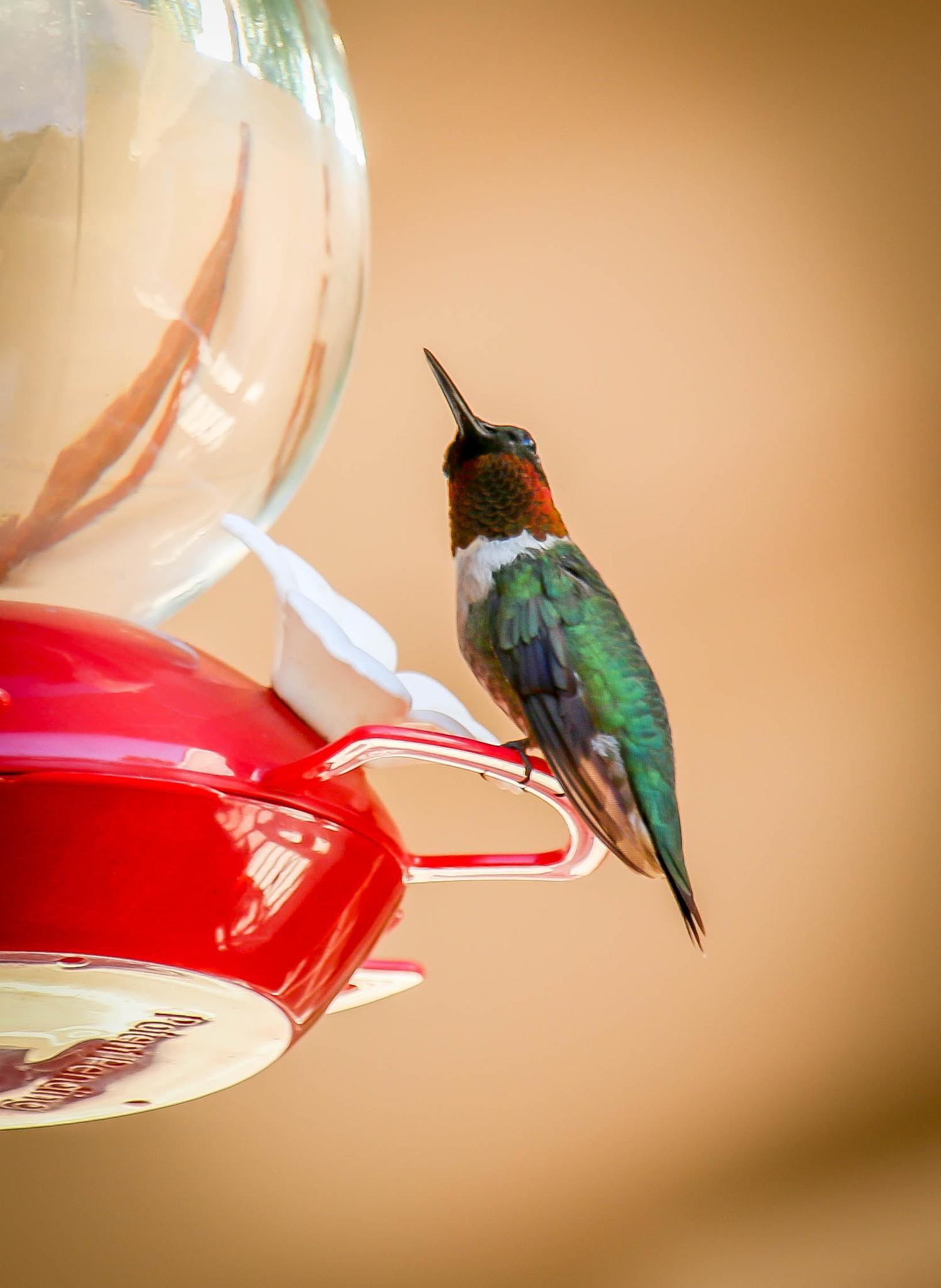 Ruby-throat Hummingbird by Catherine