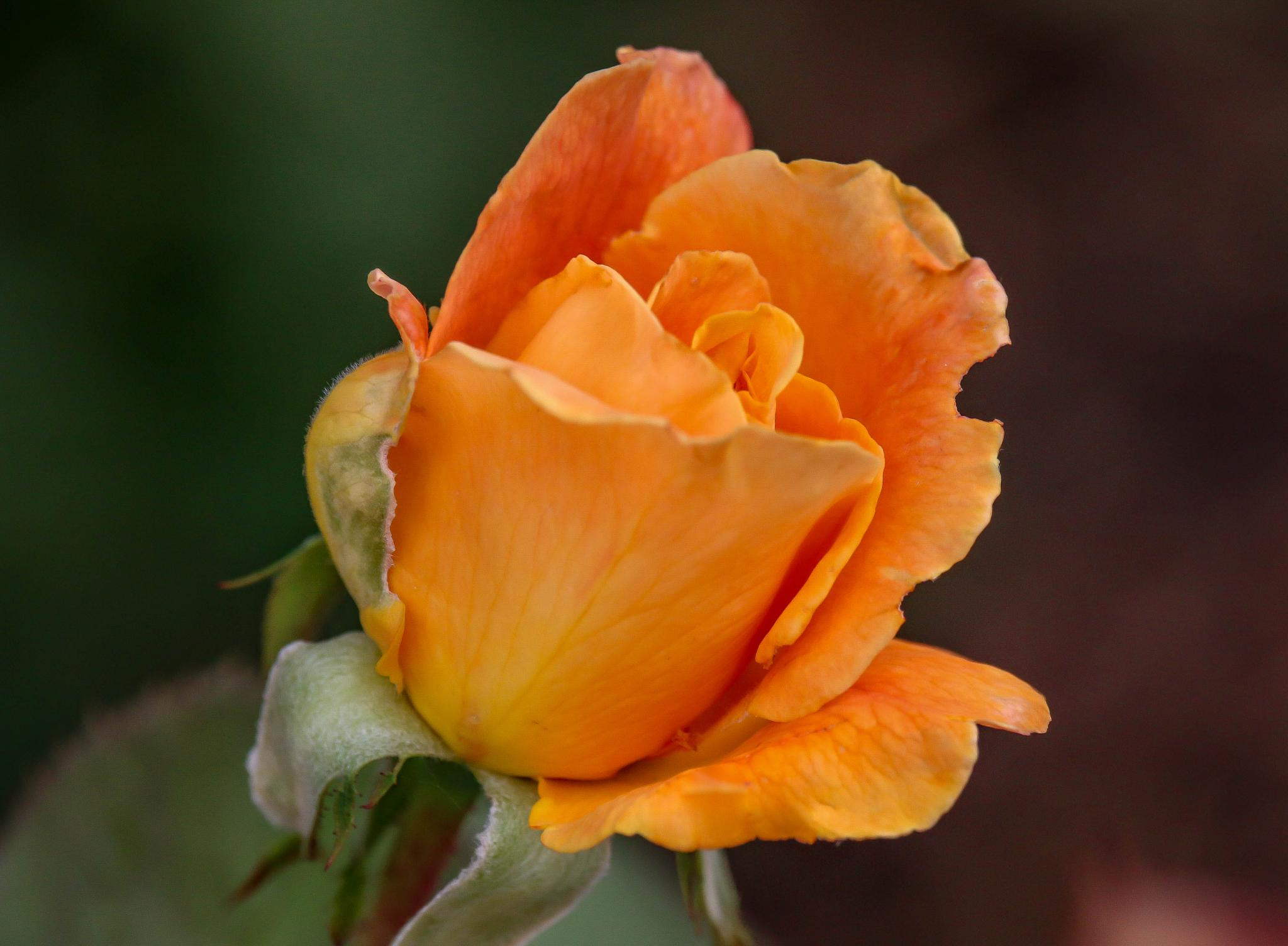 Sunset Rose II by Catherine