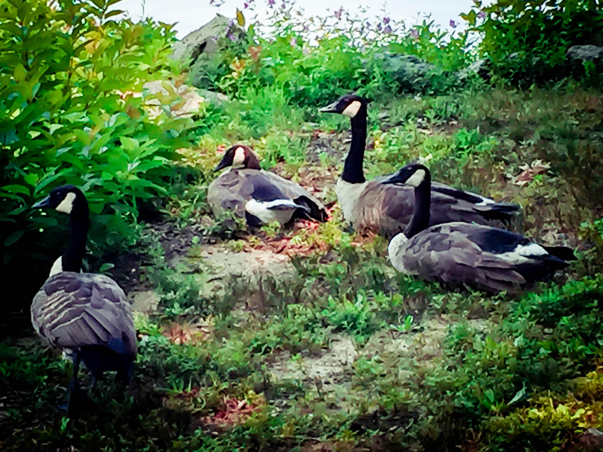 Geese by Catherine