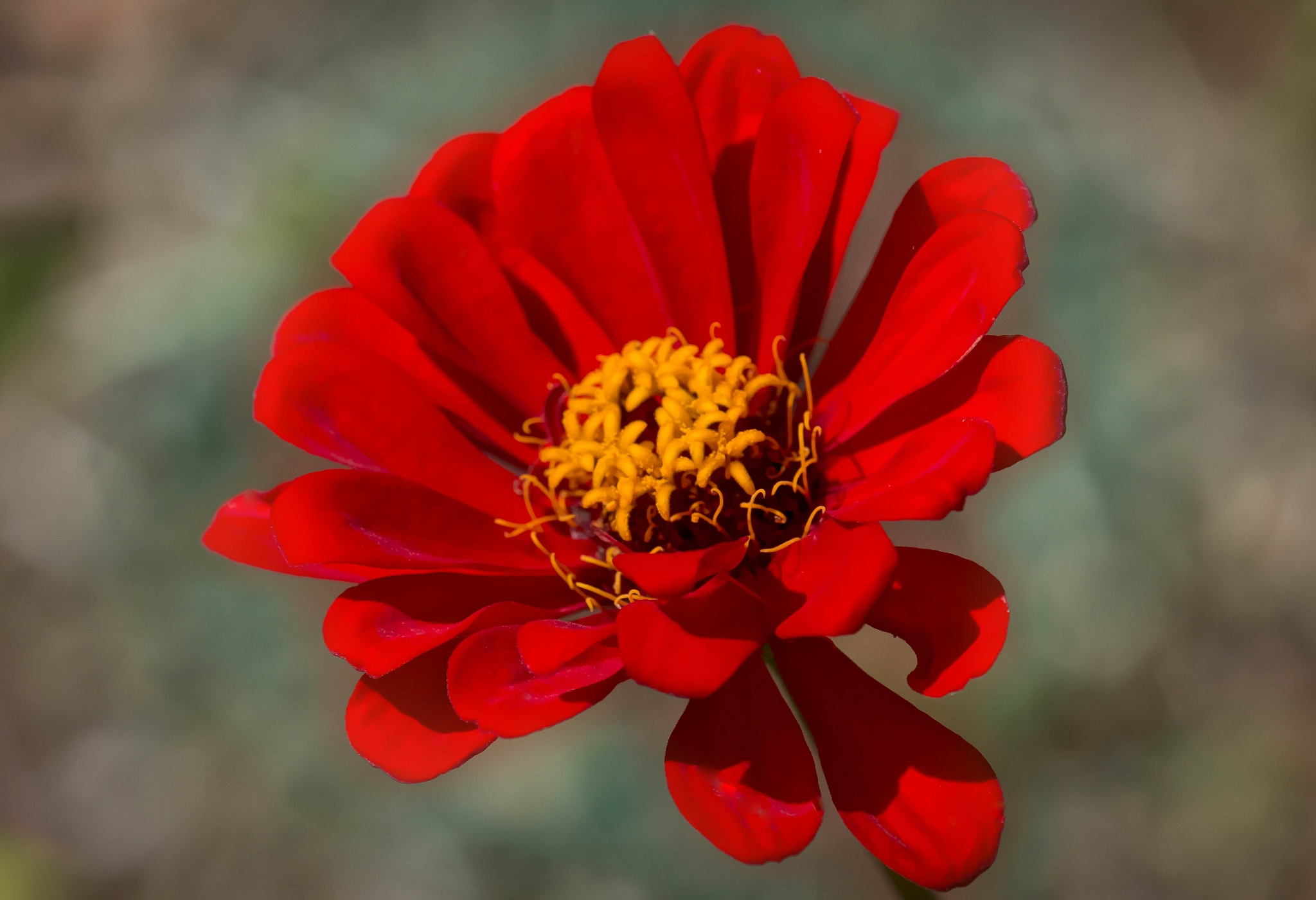 Blood Red Zinnia by Catherine