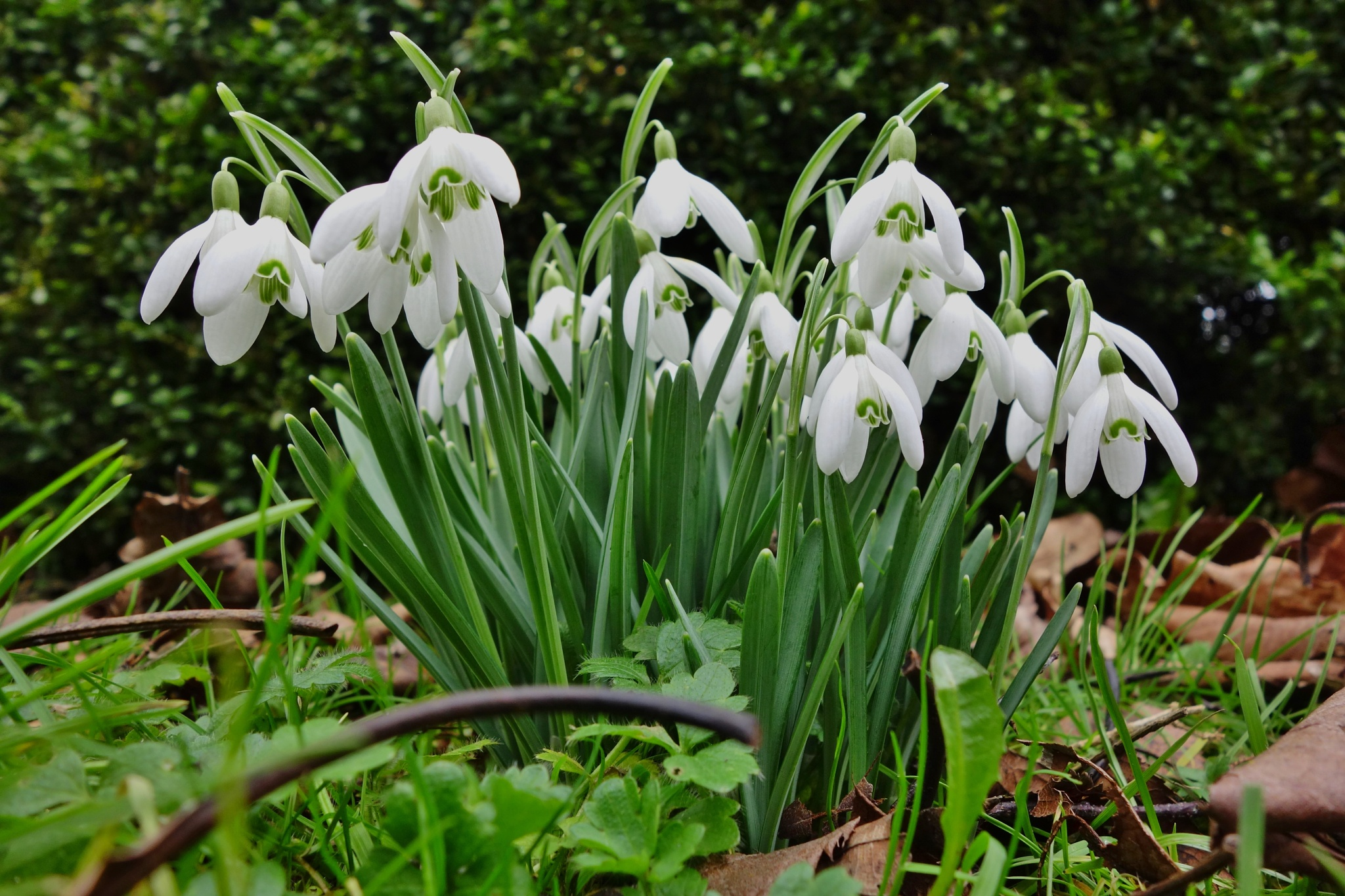 Spring Snowdrops by RonKelly