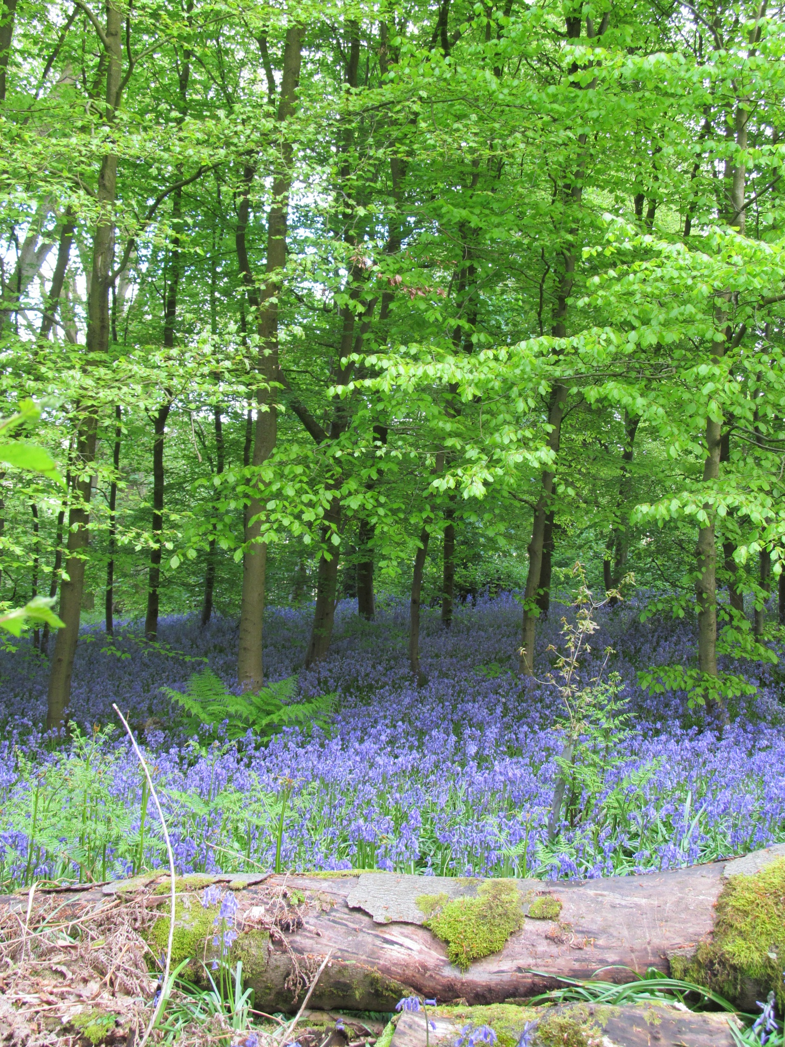 Bluebells in The Woods by RonKelly