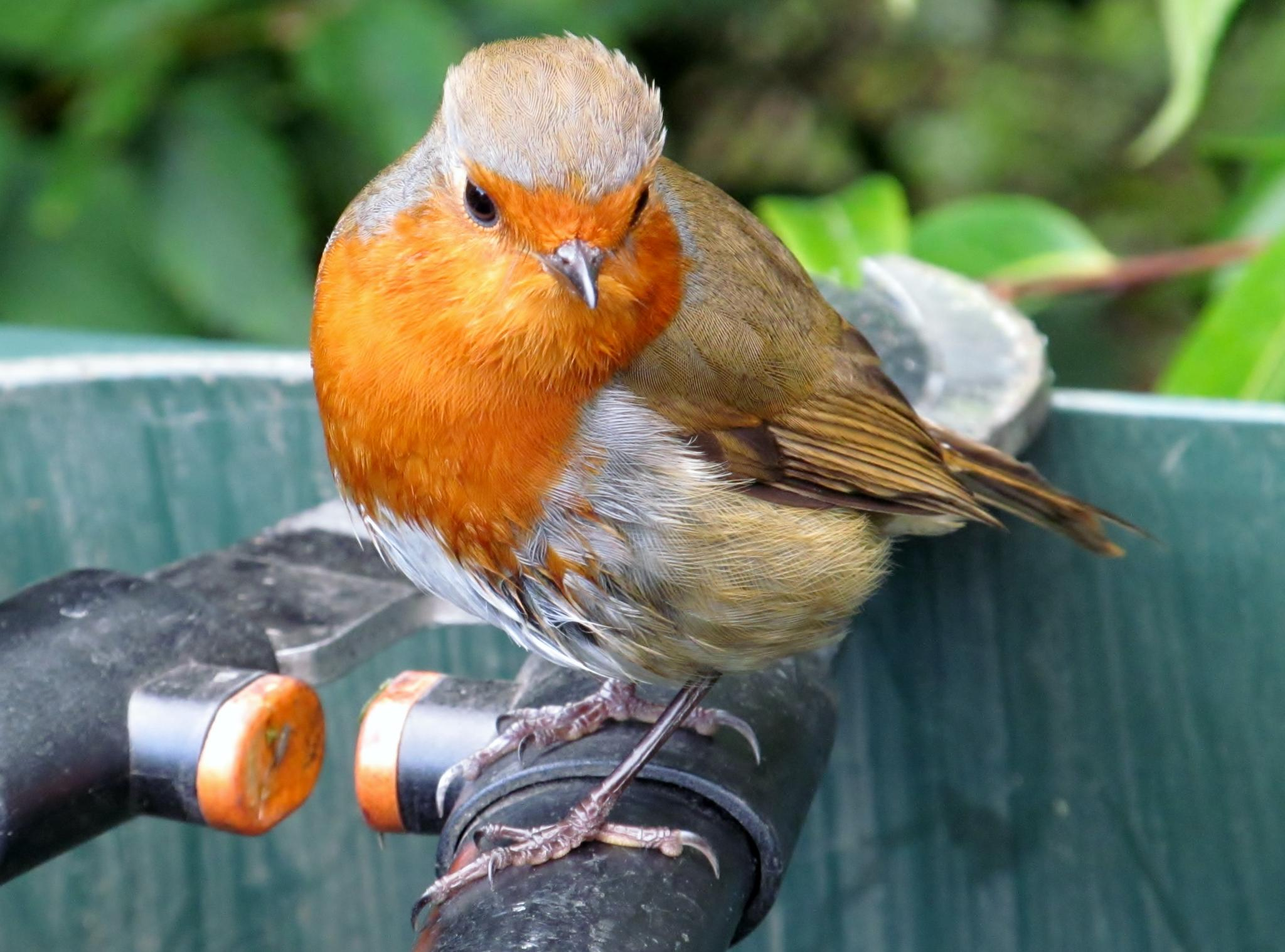 Robin by RonKelly
