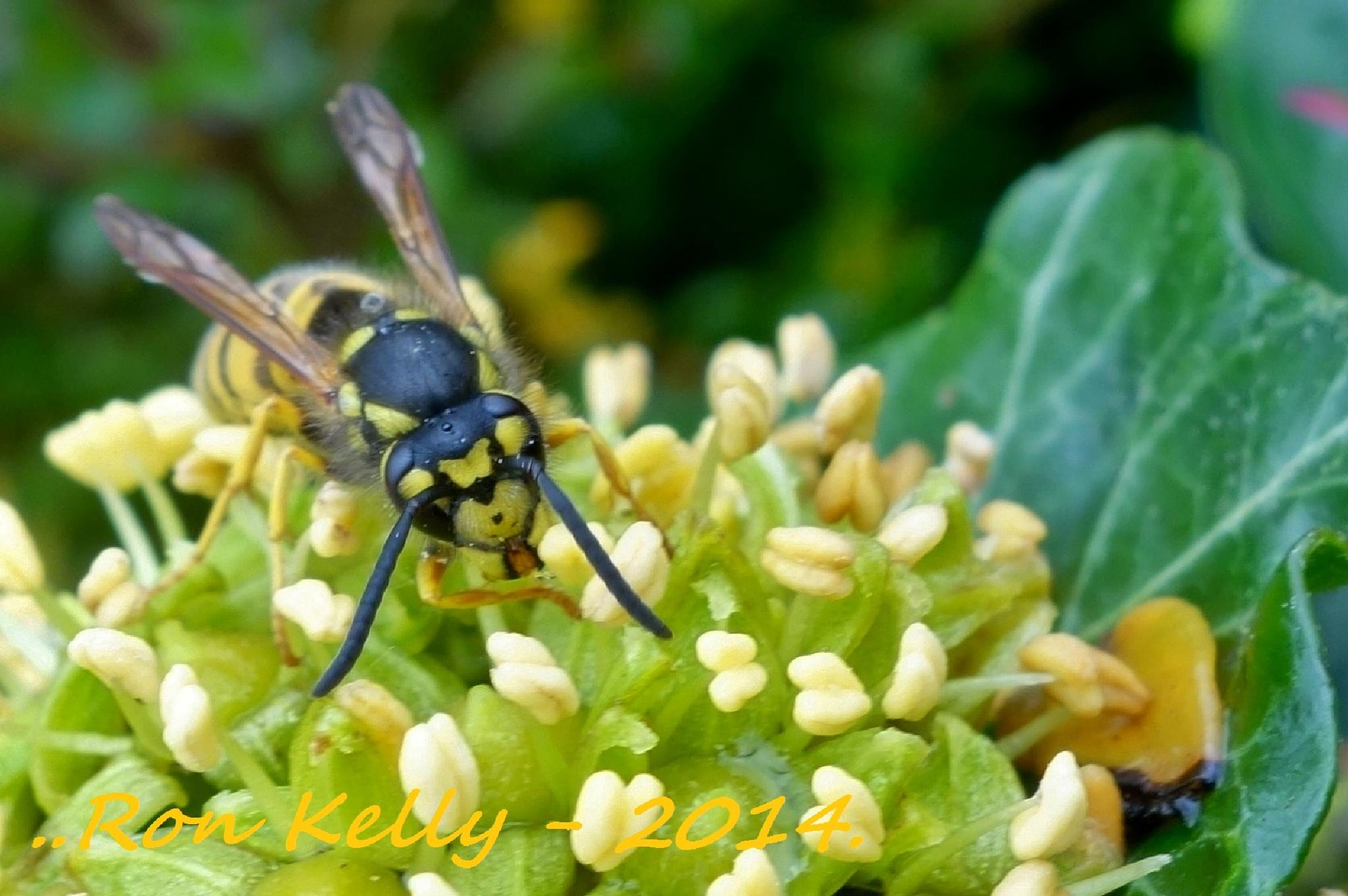 Wasp on Ivy by RonKelly