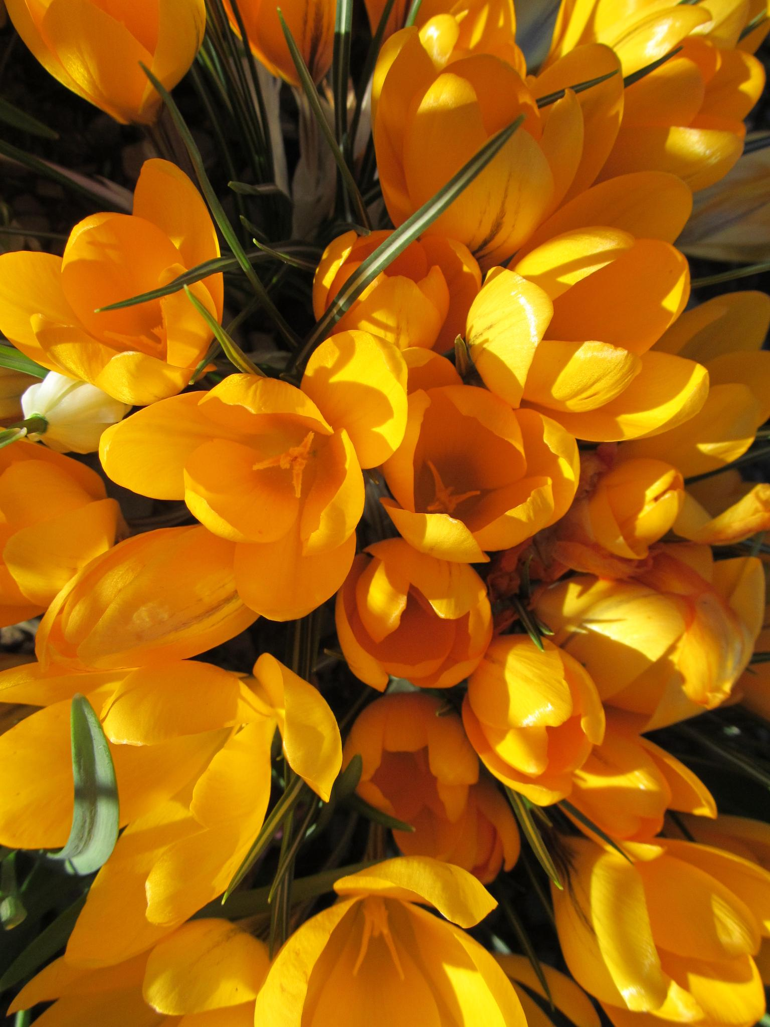 Golden Crocus by RonKelly