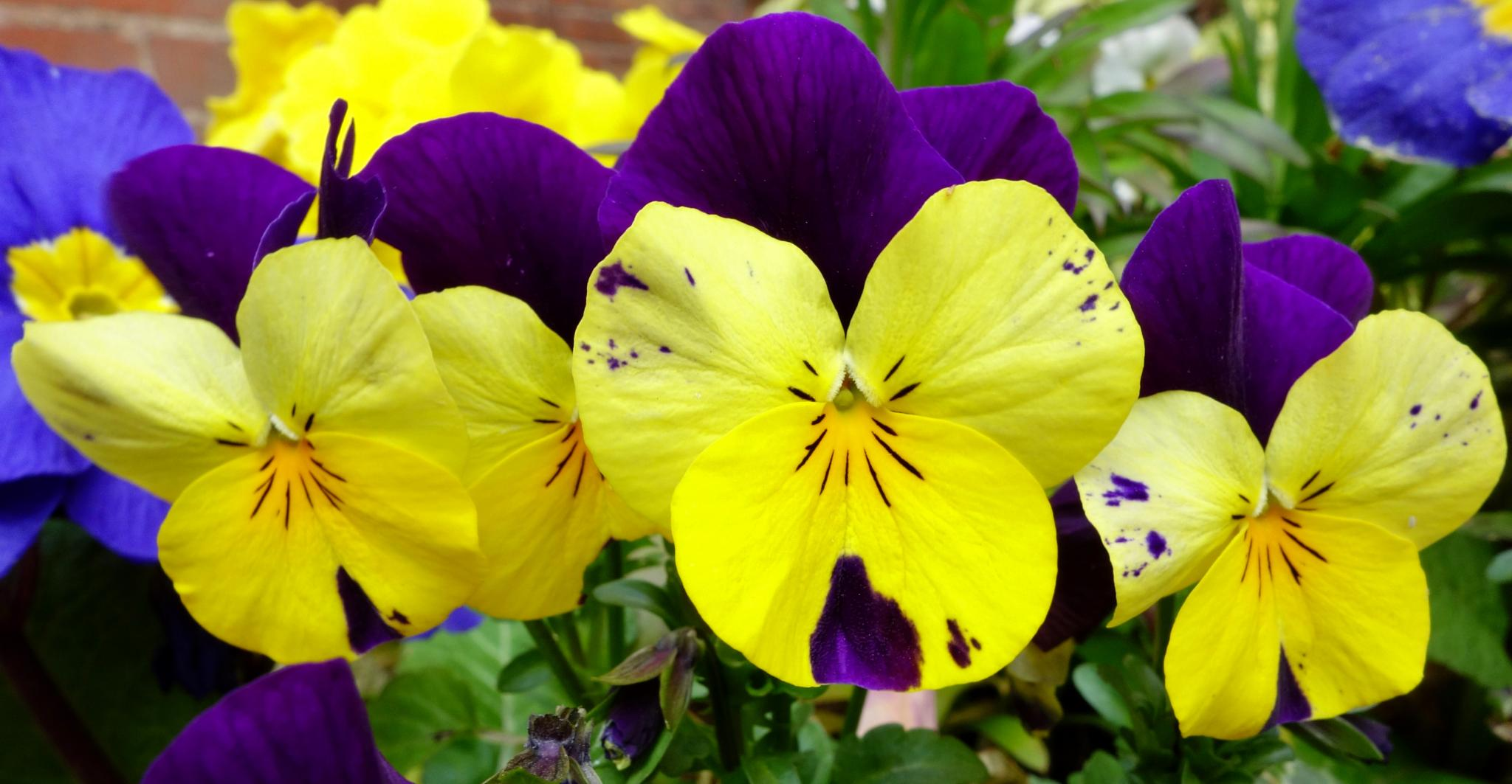 """Viola Trio """"Little Faces"""" by RonKelly"""