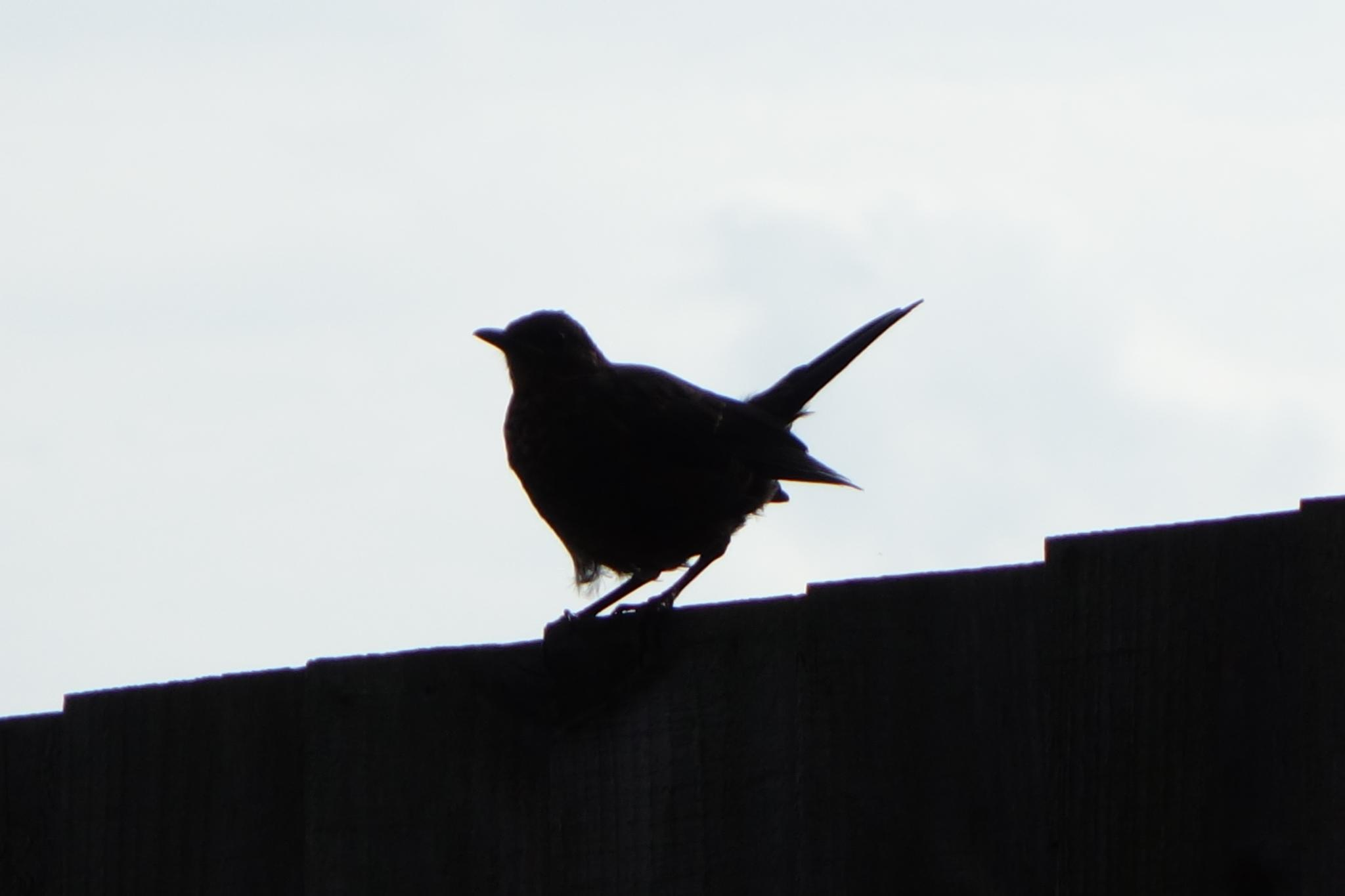 Blackbird Silhouette by RonKelly